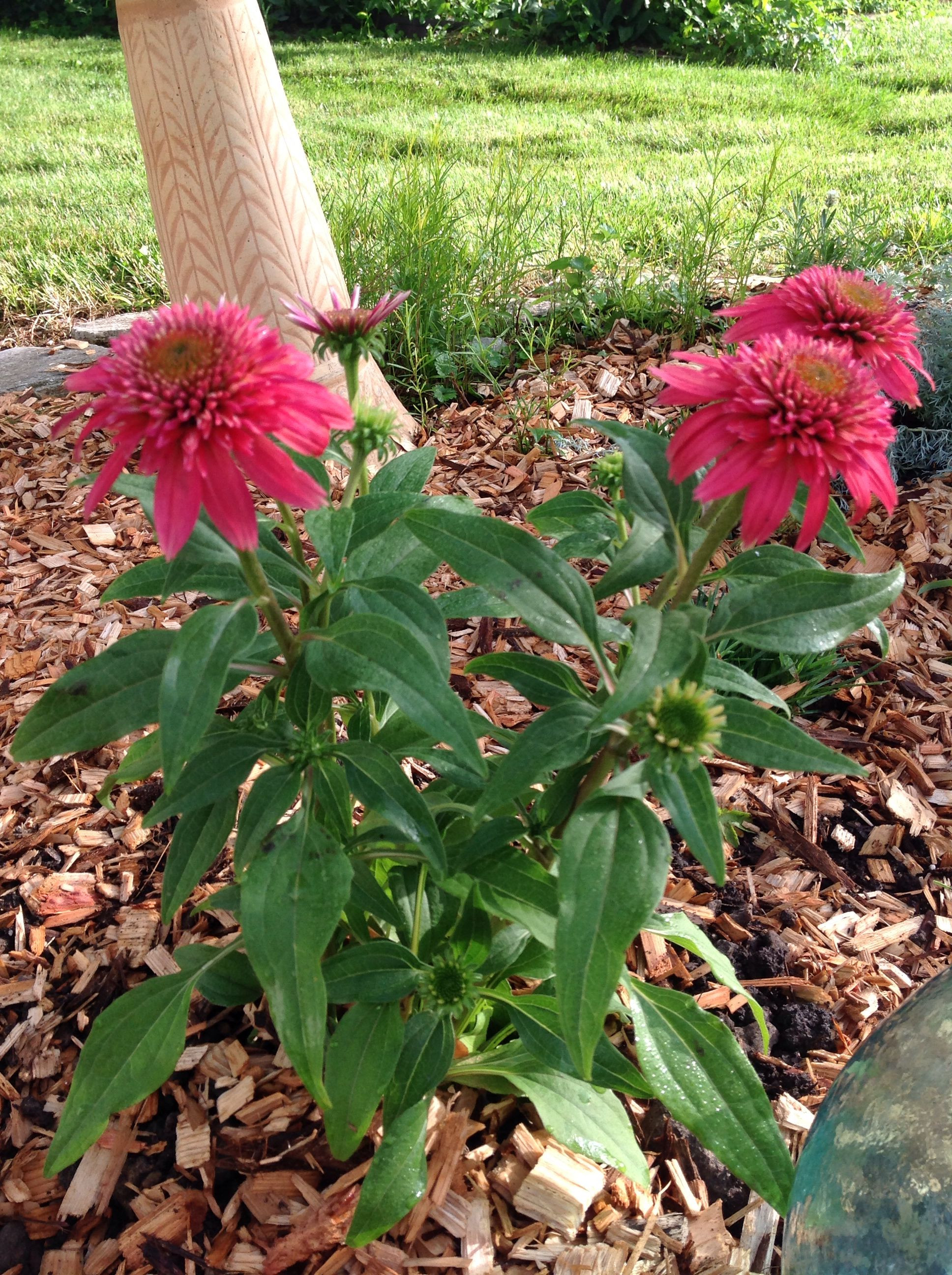 Coneflower Pom Pom Attracts butterflies and bees