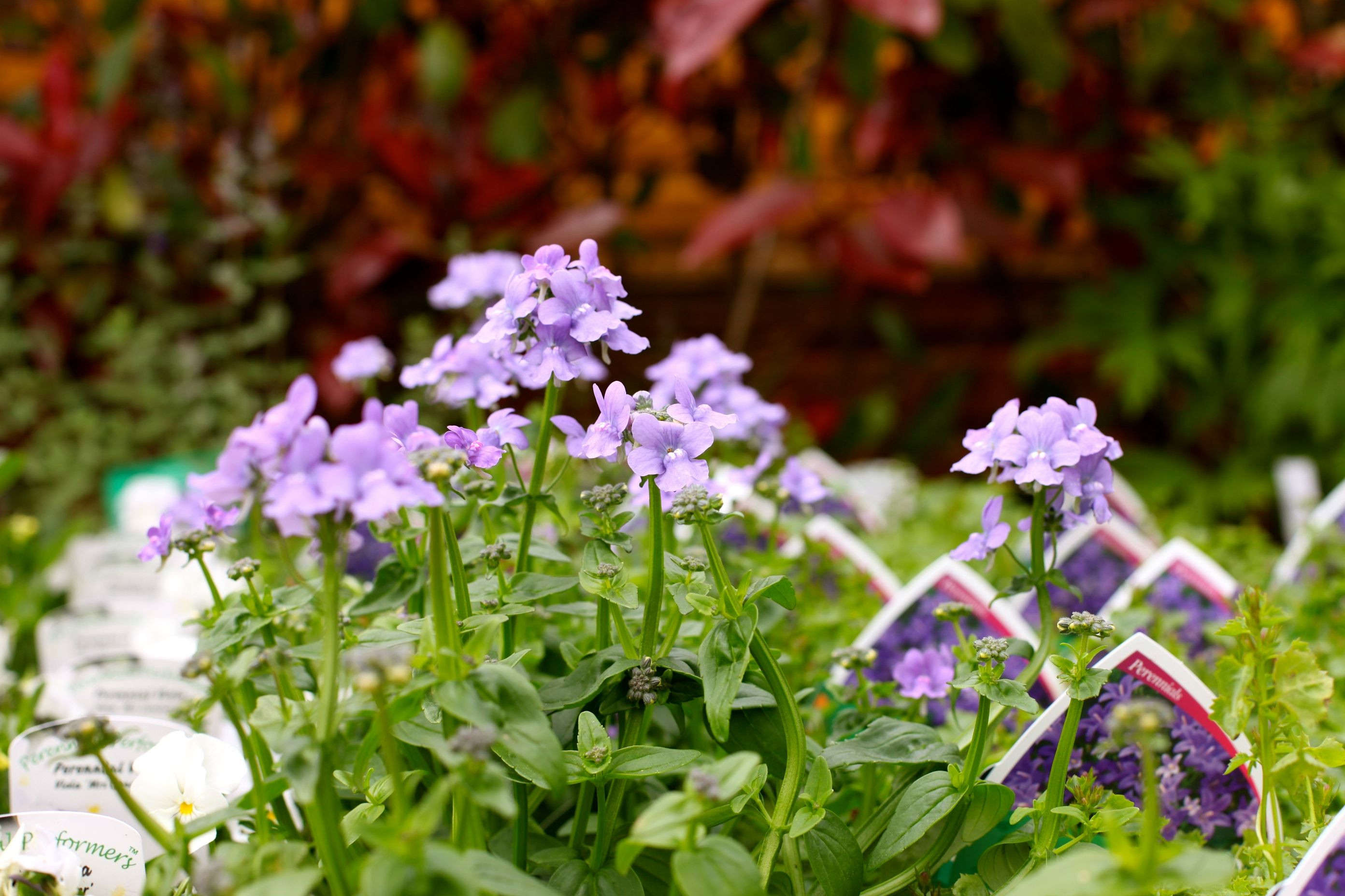 Nemesia Blue Lagoon Bears clusters of funnel shaped blue flowers over a long flowering season Suitable for patios well drained soil in sun or light