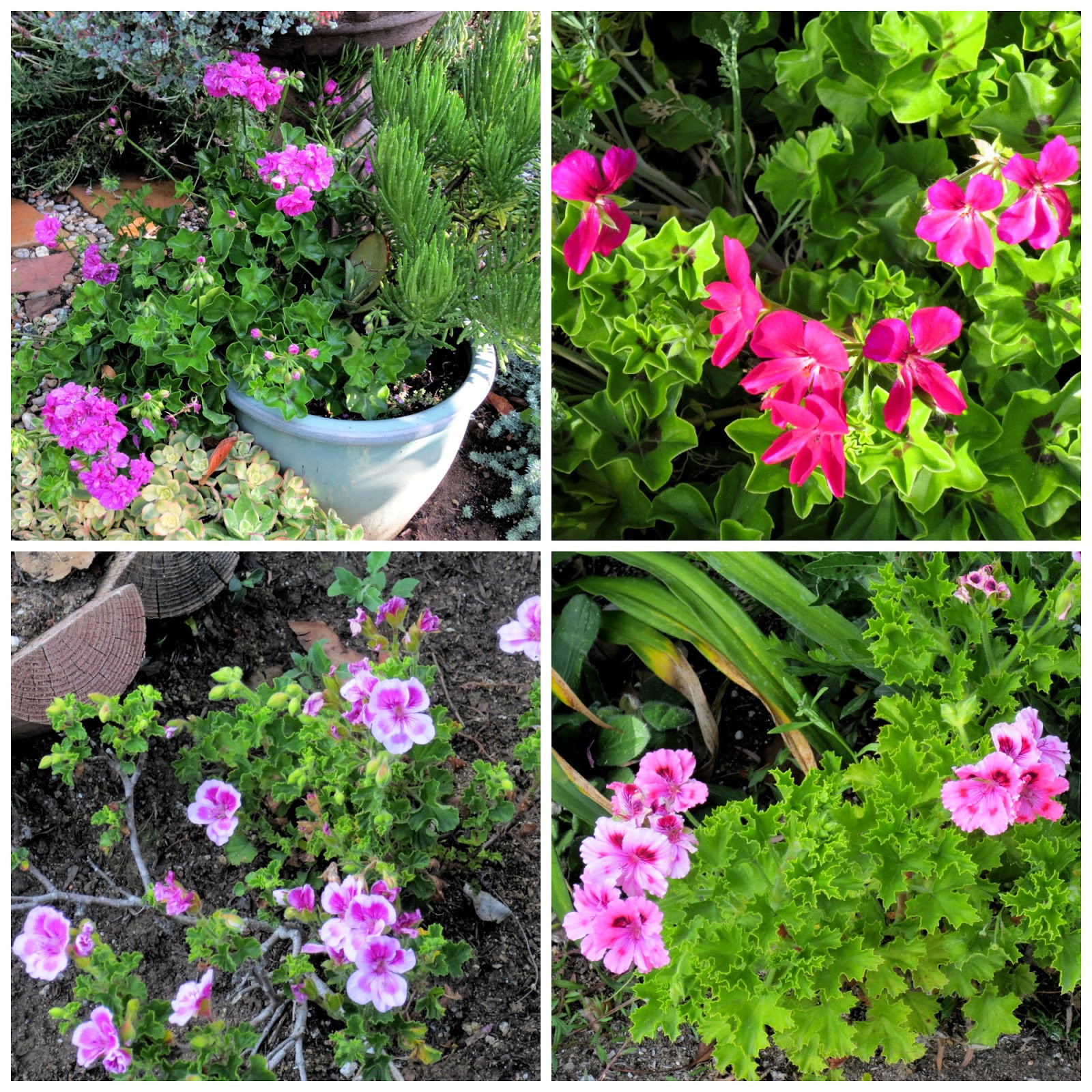 Pink Pelargoniums include top row 2 unidentified P peltatum bottom row P Aurelia and what may be P Katie