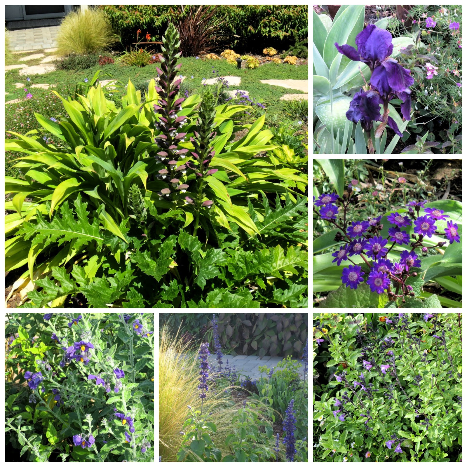 In the purple category clockwise from upper left Acanthus mollis Summer Beauty Iris germanica no ID Senecio stellata Salvia Mesa Azure Salvia