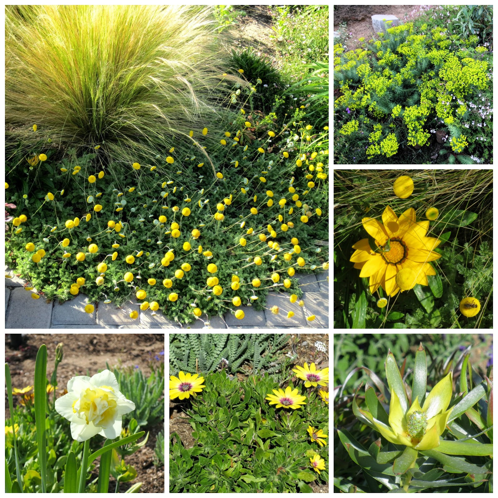 Yellow blooms include clockwise from upper left Cotula lineariloba Euphorbia Dean s Hybrid Gazania New Day Yellow Leucadendron Pisa