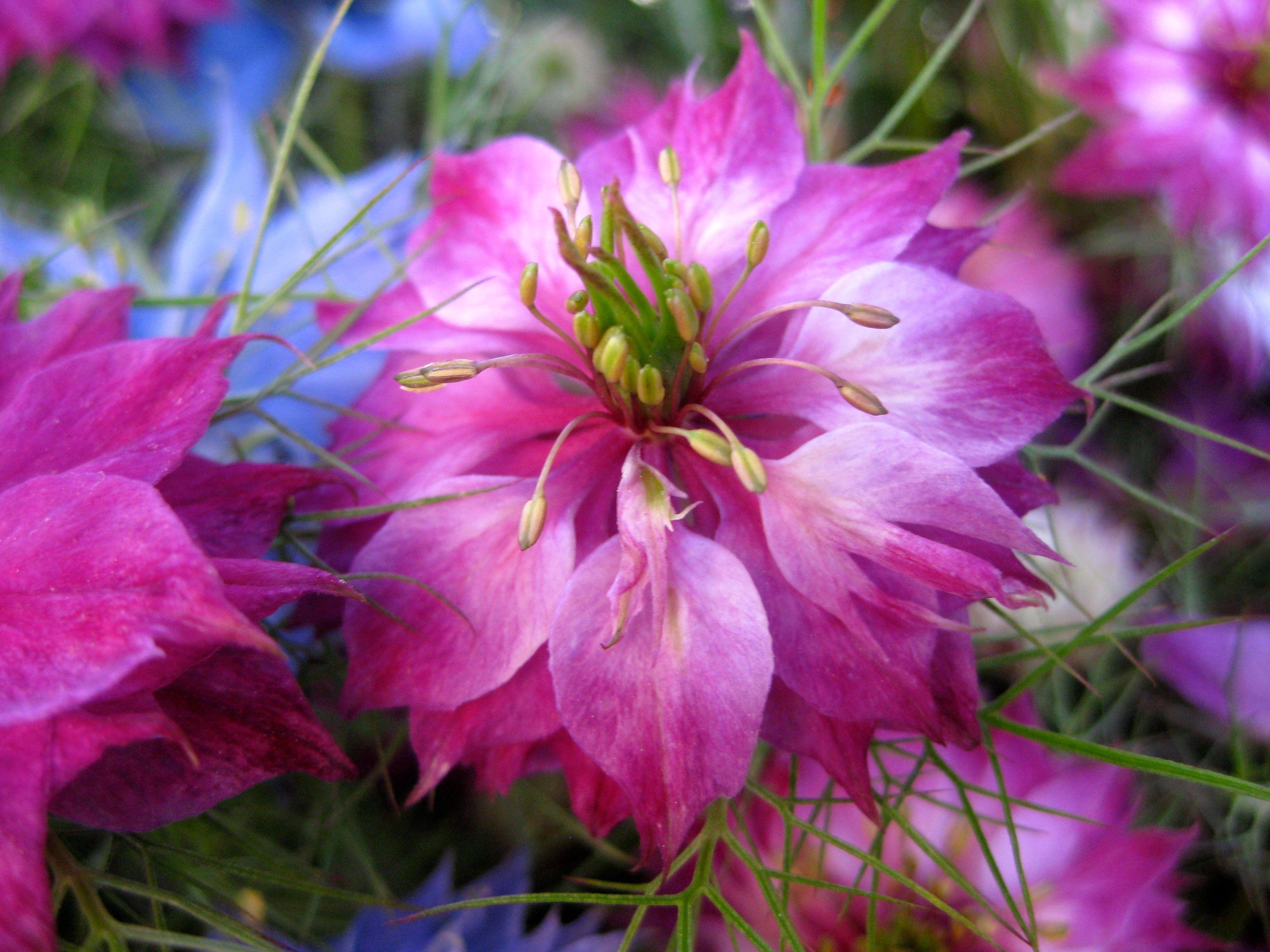 Nigella Damescena in pink
