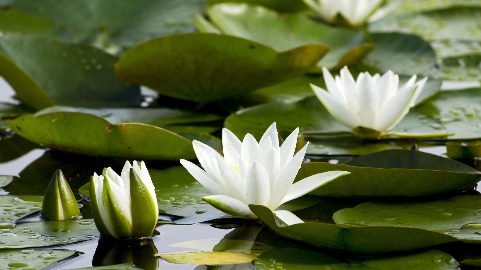 Nymphaea odorata American white water lily