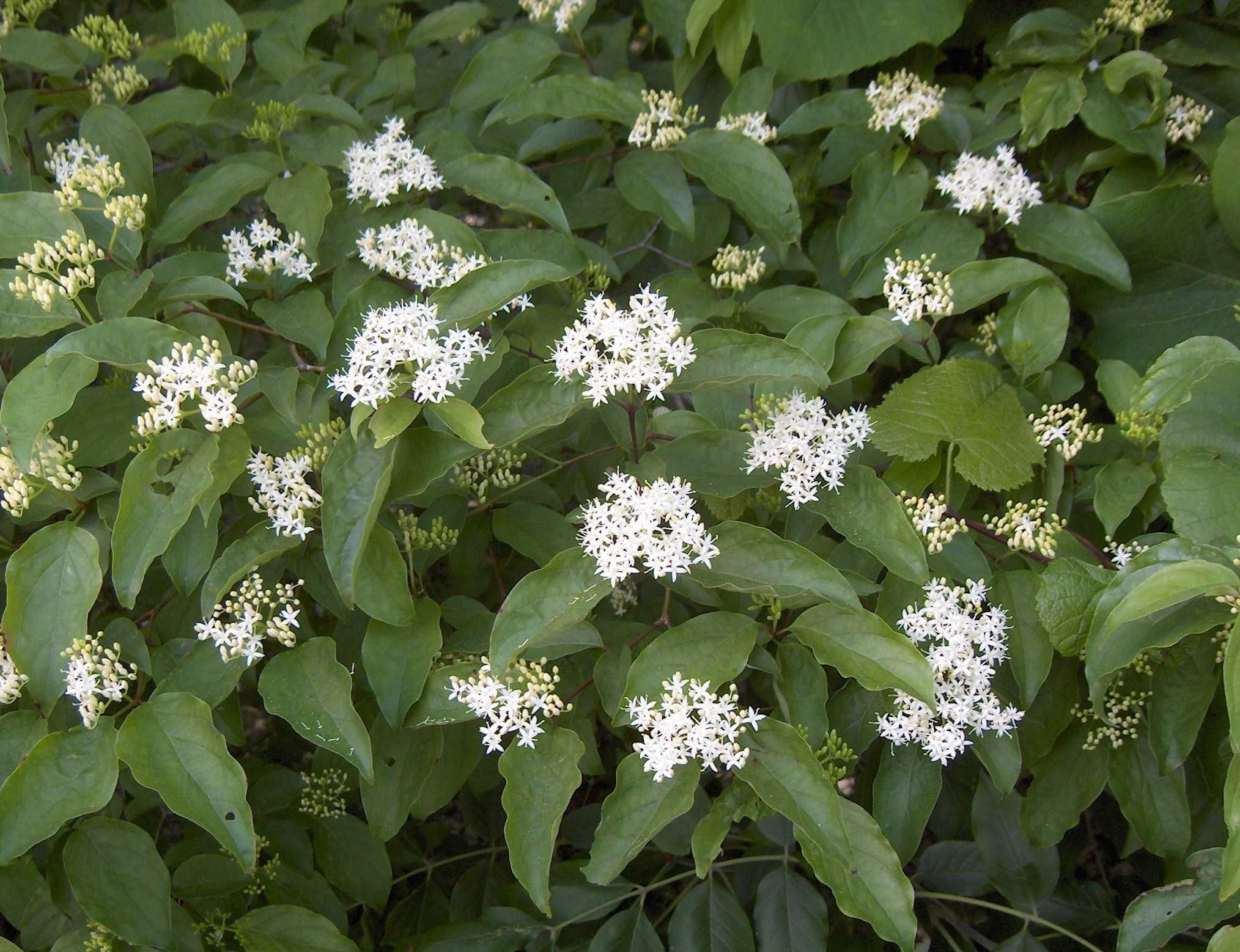 Dogwood Shrub Varieties Check out the free plant identification mobile app at GardenAnswers