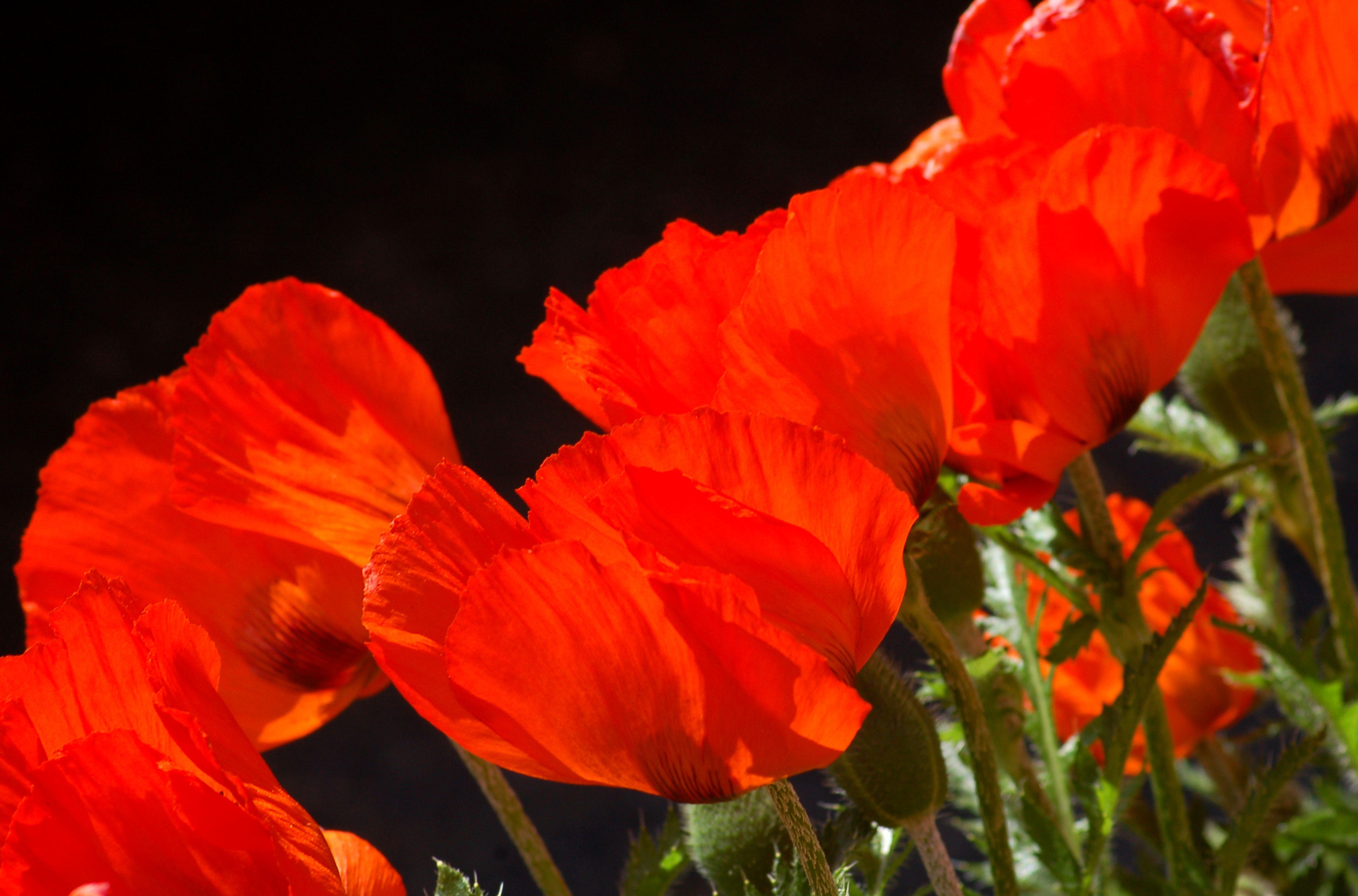 oriental poppies orange big 56a f9b58b7d0dd44cc