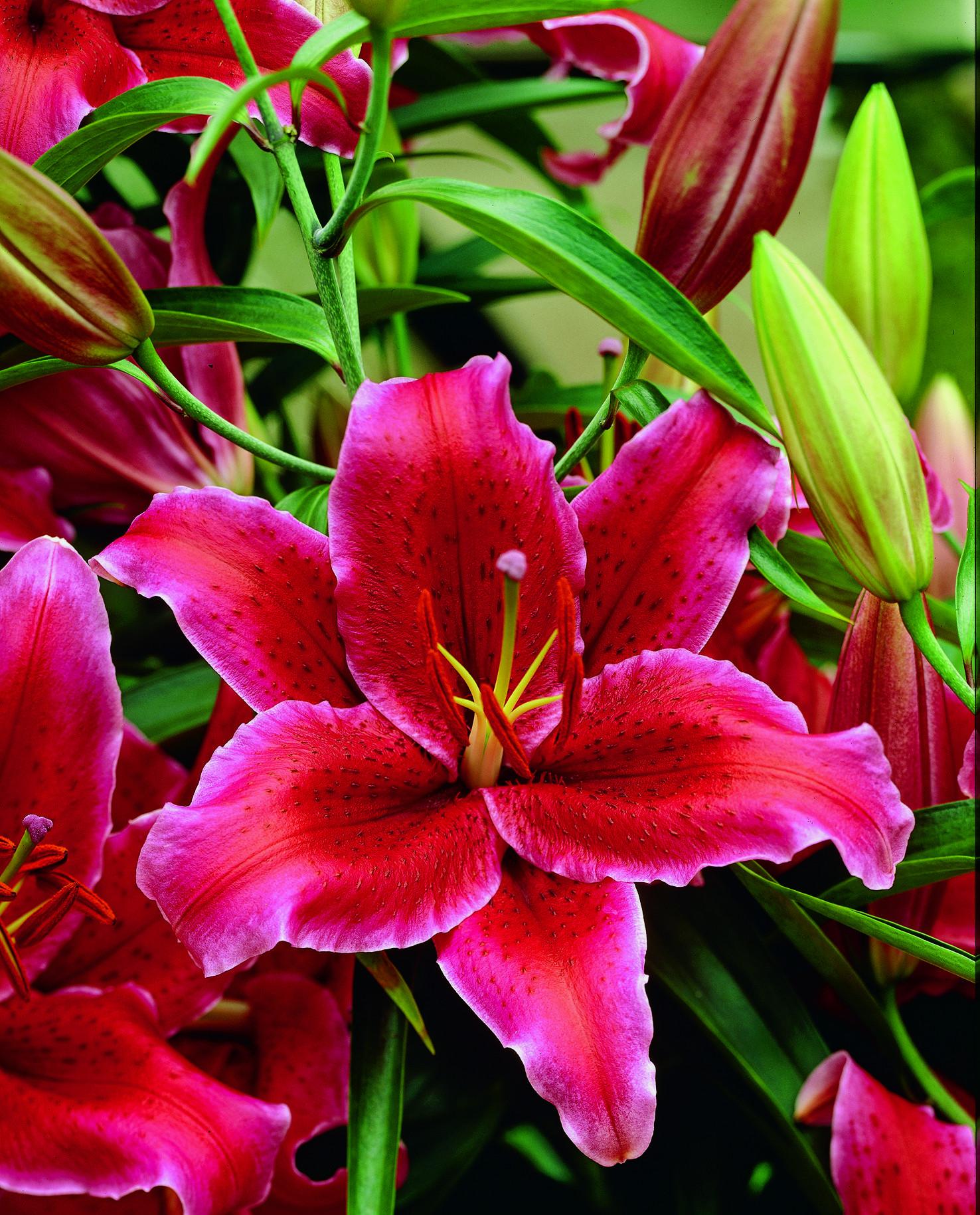 Oriental Lily Rio Negro JPG 1476—1829