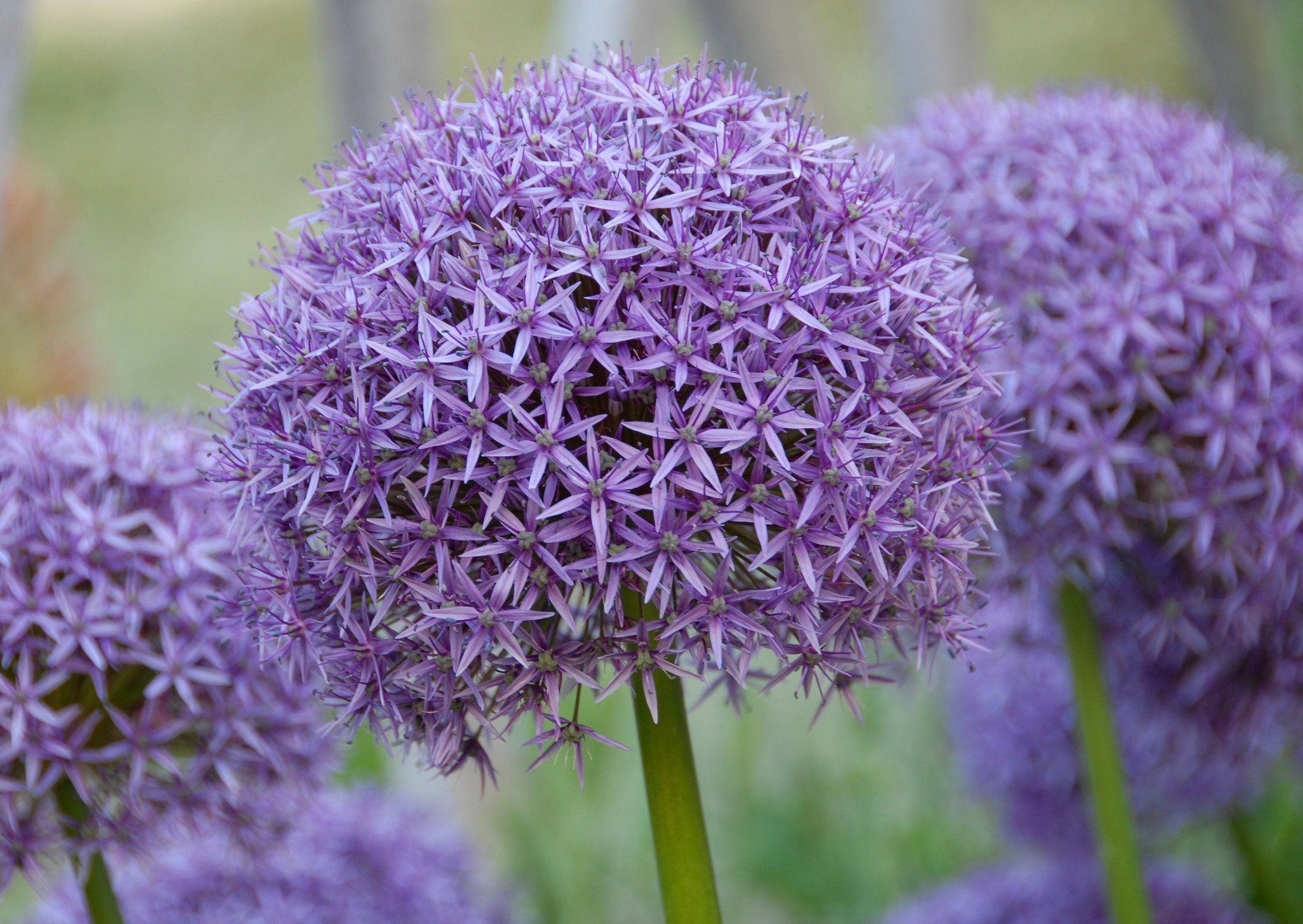 Will ship in early fall Allium aflatunense Purple Sensation 5 cm Allium makes a striking impact in the garden with its large purple flower heads on s