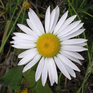 Ox Eye Daisy Flower Fresh Oxeye Daisy Leucanthemum Vulgare Latvia