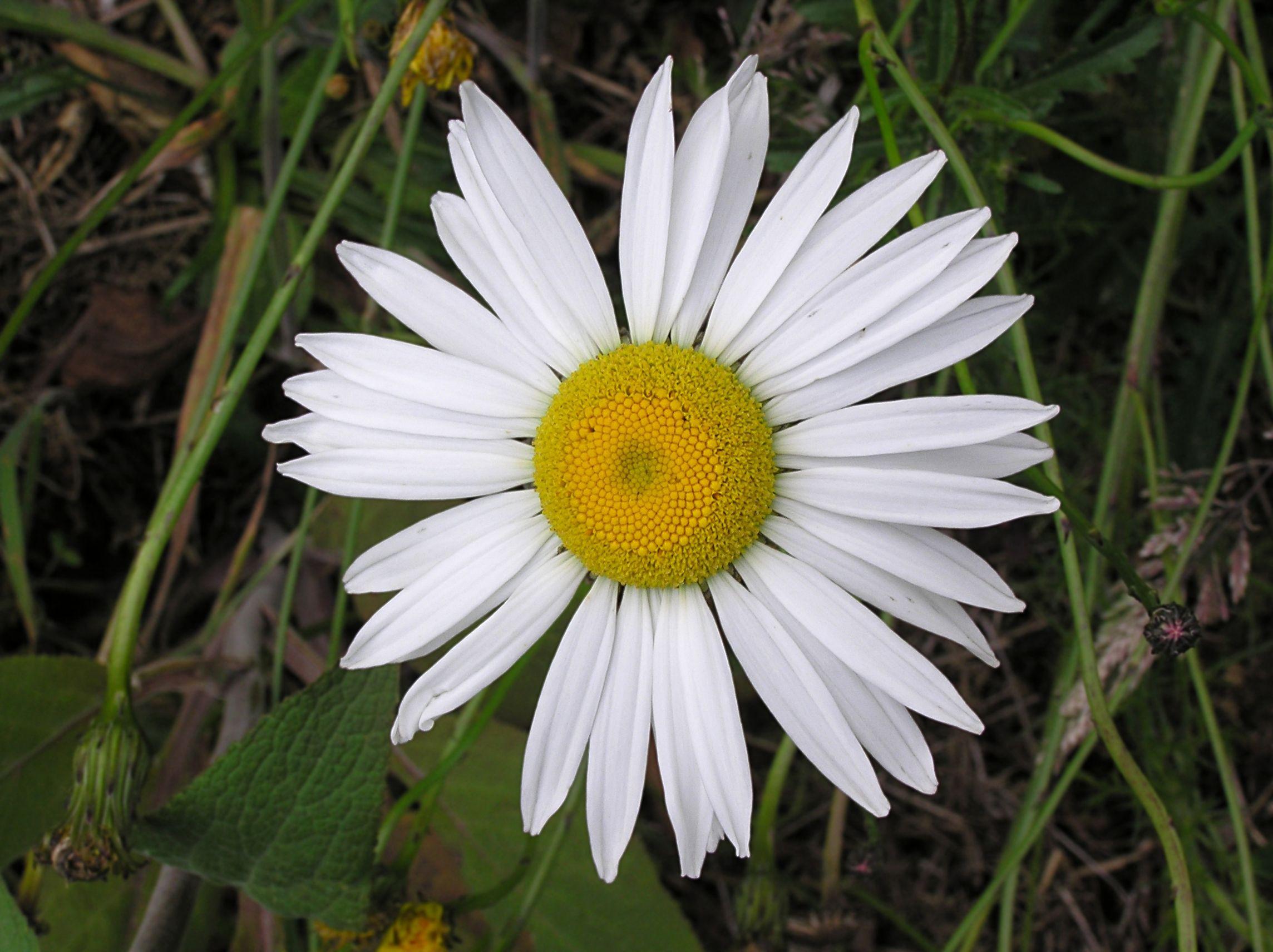 Oxeye Daisy Leucanthemum Vulgare Latvia