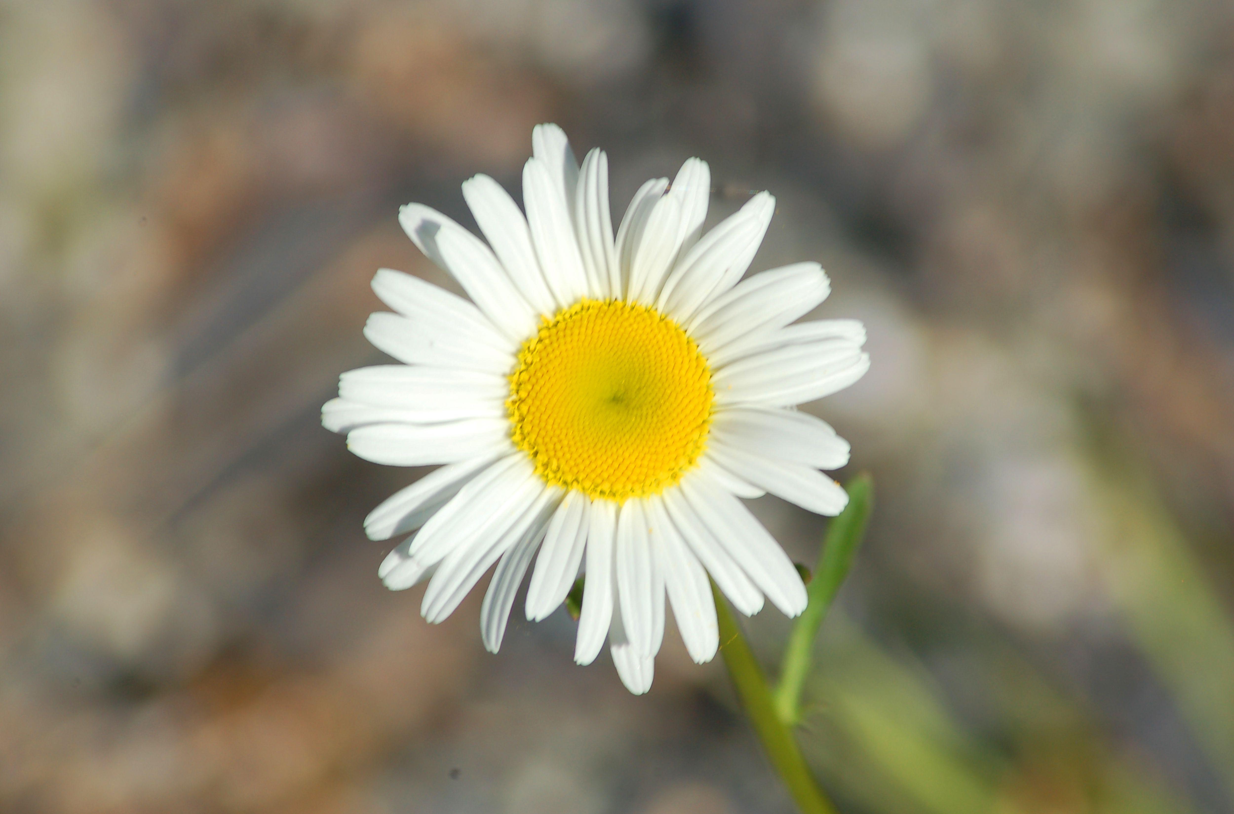 Becky shasta daisy bloom big 56a df78cf ab64
