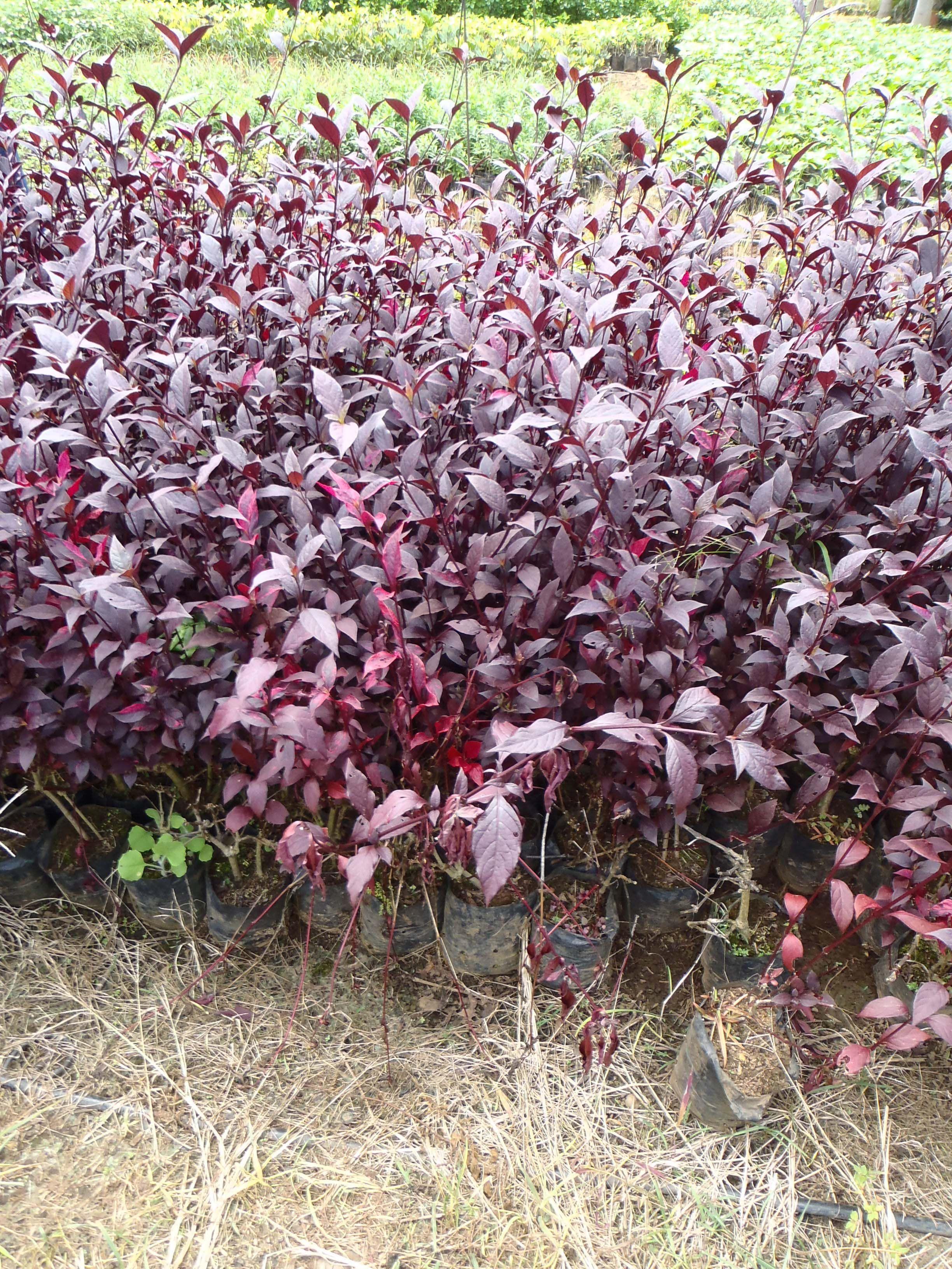Plants · Alternantera