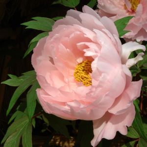 Paeonia Suffruticosa Flower Awesome Botan Peony Paeonia Suffruticosa andrews