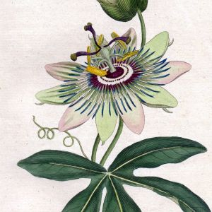 Passion Flower Flower Awesome Passionflower Passiflora Passiflora Caerulea Blue Passionflower