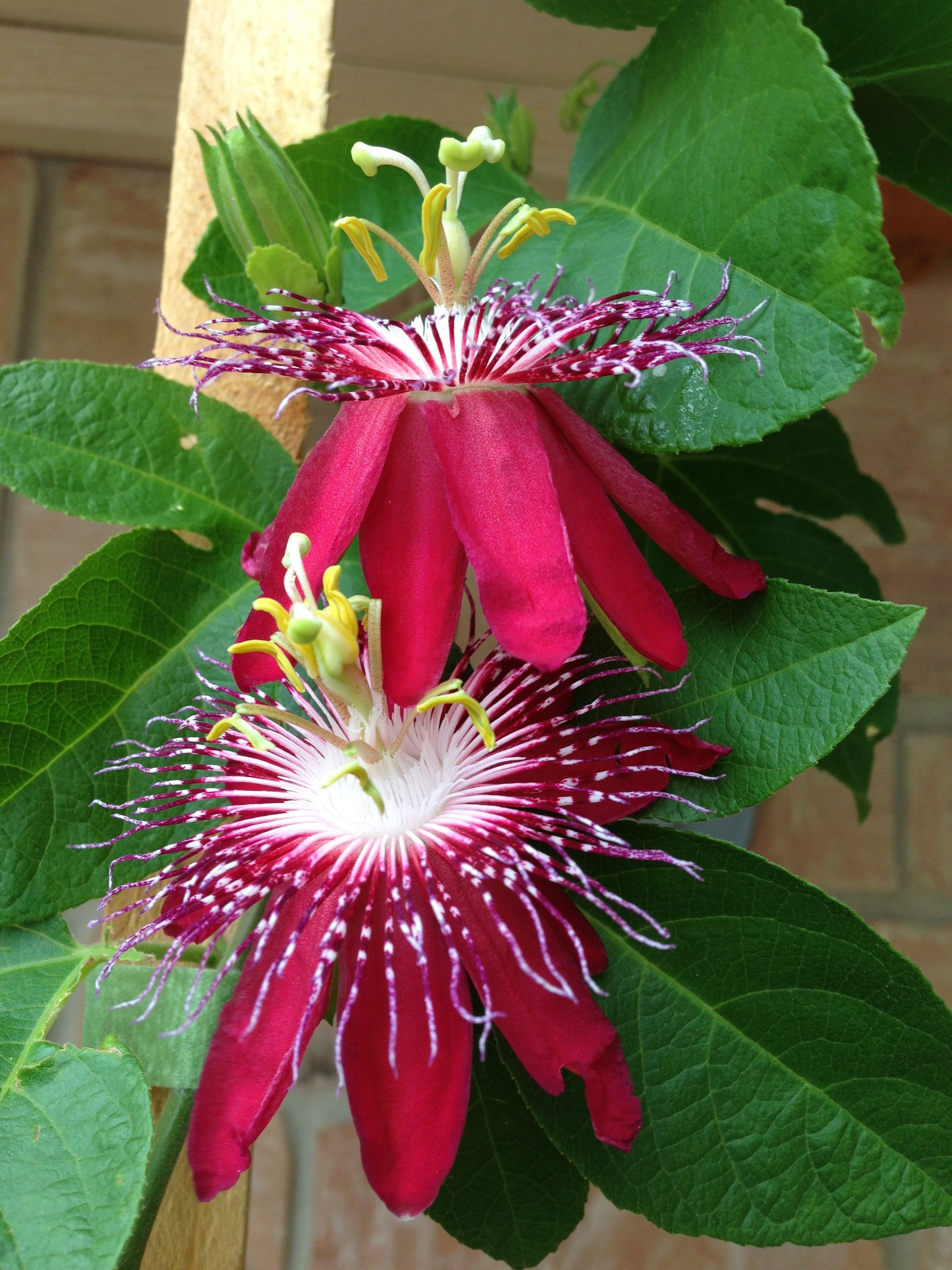 My husband s newest addition to his Passion Flower collection