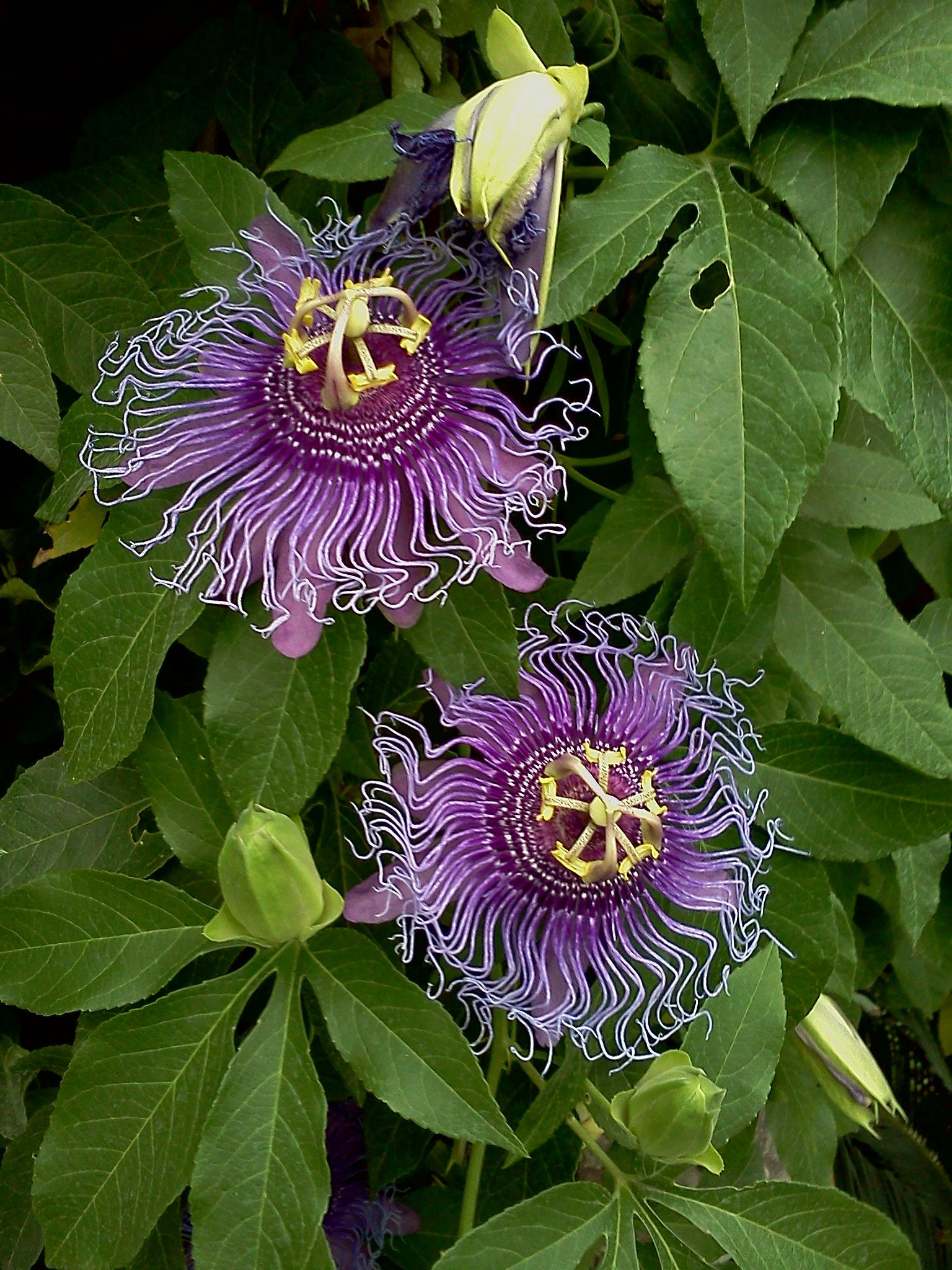 "Passion Flower We used to see these on the roadside with green pods We called the ""maypops """