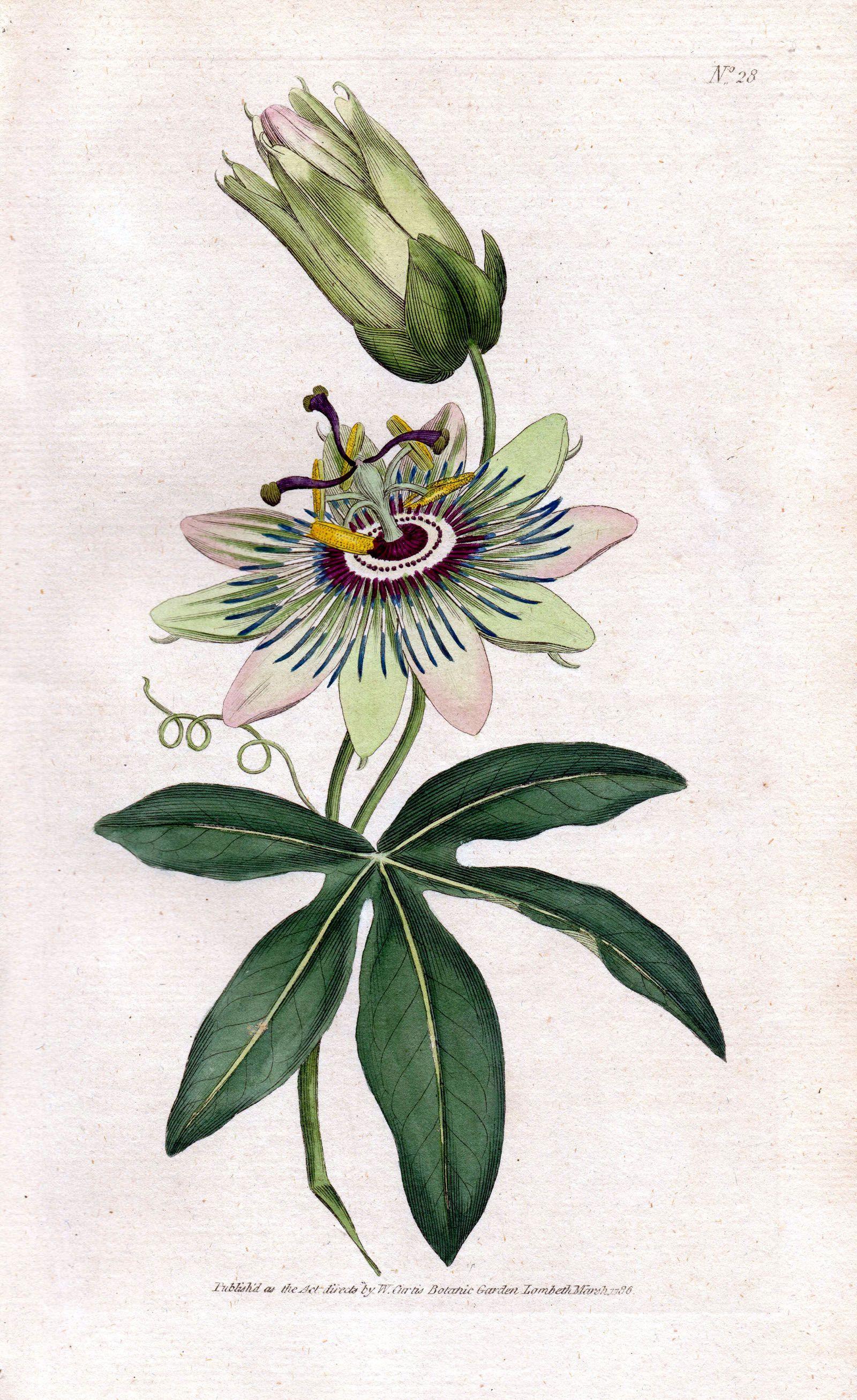 Passionflower Passiflora Passiflora Caerulea Blue Passionflower Bluecrown Passionflower Passion Flower