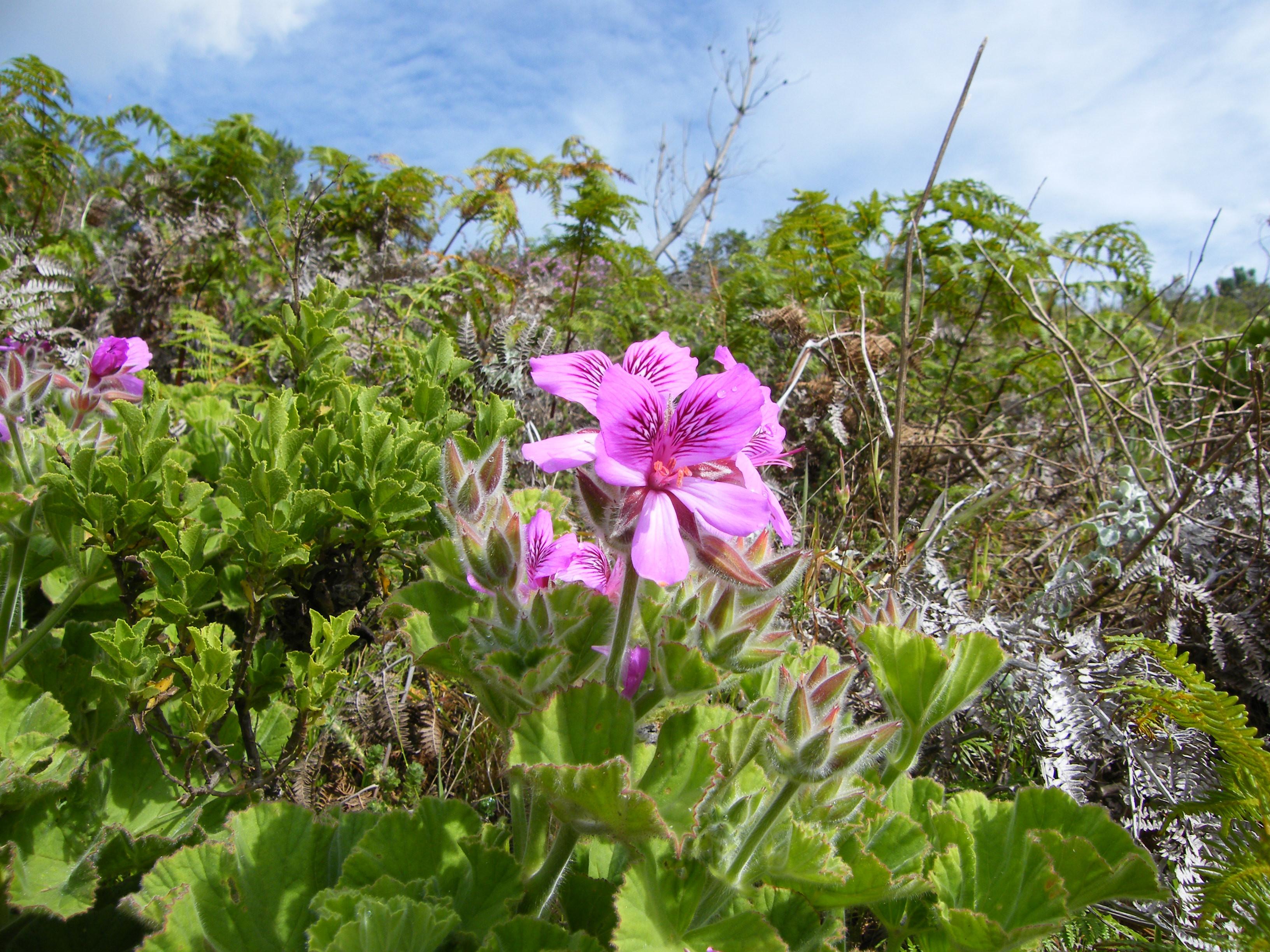 Datei Pelargonium cucullatum Contour Path Rhodes Mem JPG
