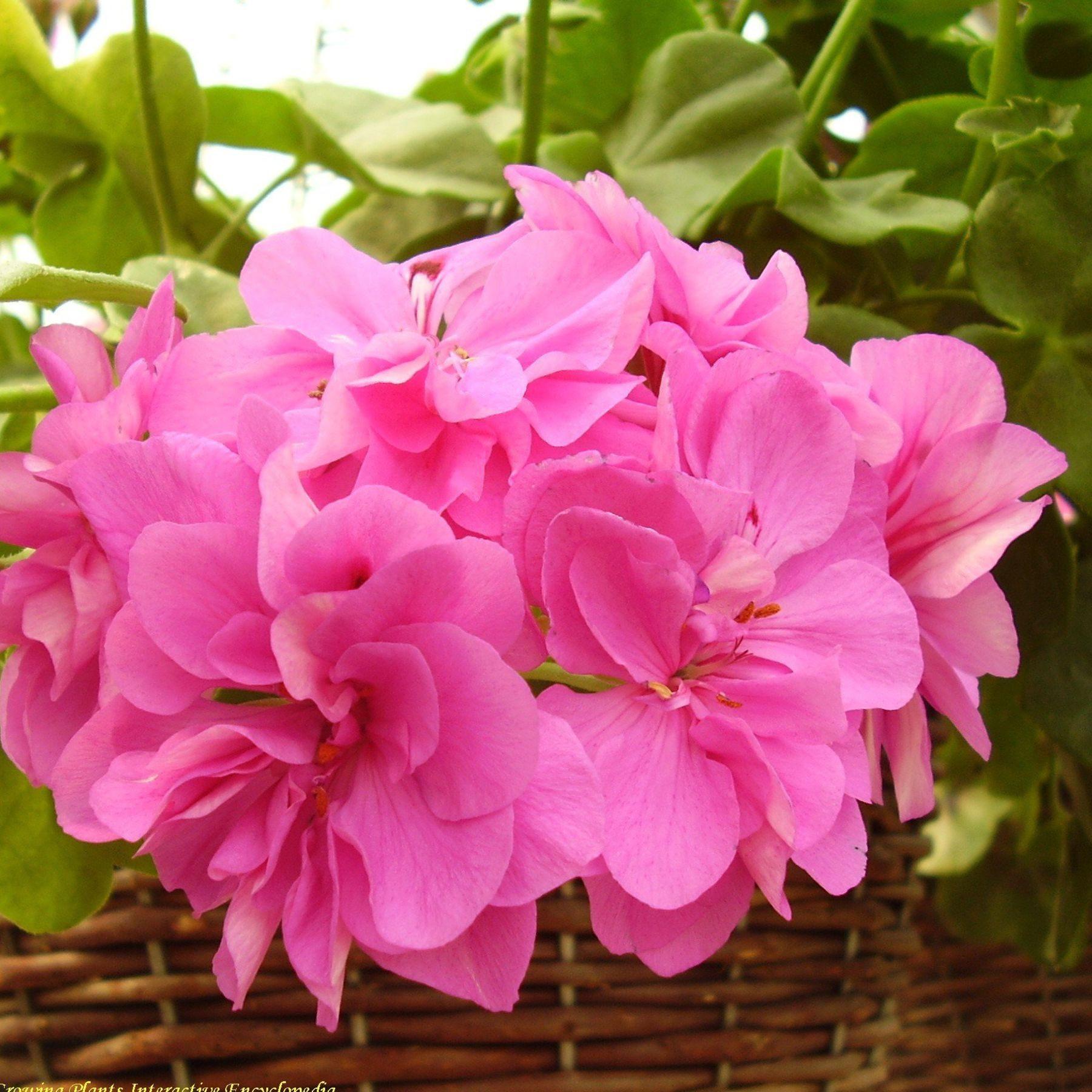 Pelargonium Alice Crousse
