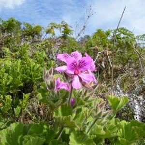 Pelargonium Quercifolium Flower Elegant Pelargonium Wikiwand