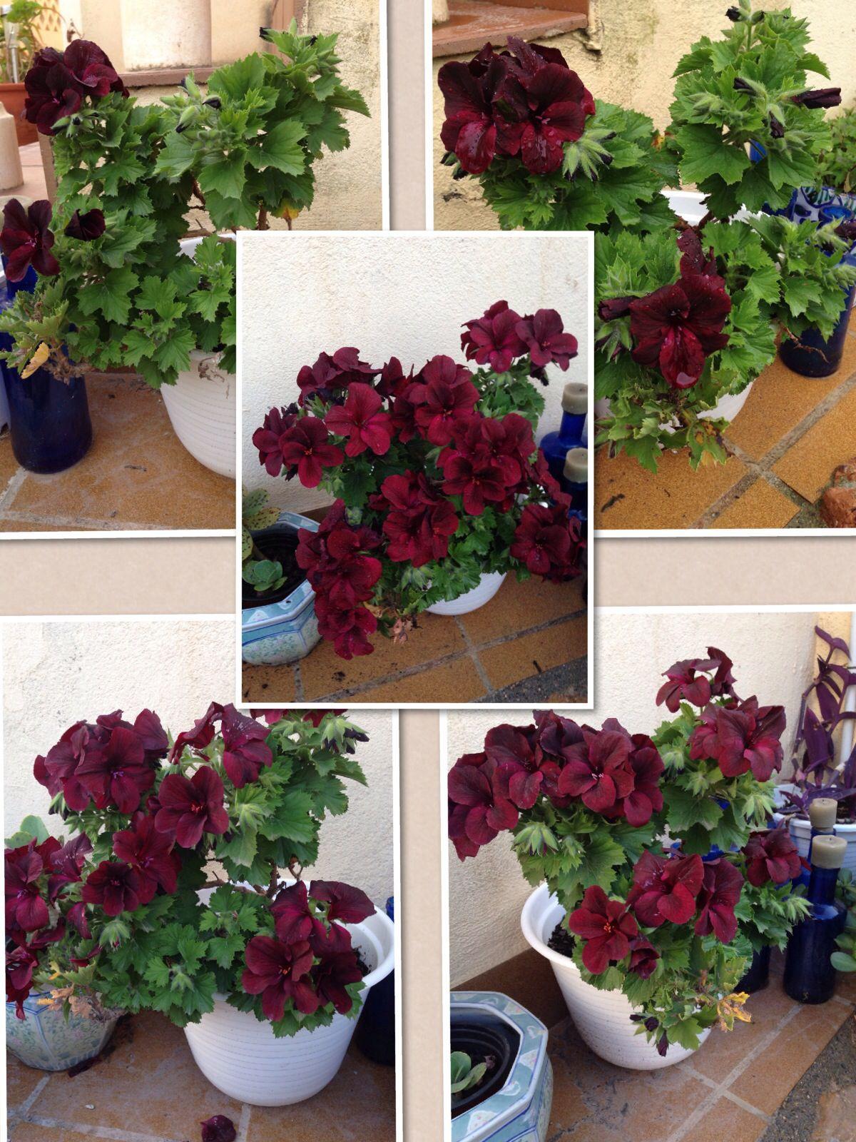 "Proceso de floraci³n de mi pelargonium ""Dark Secret"" Pineadora Mara D Balsalobre"