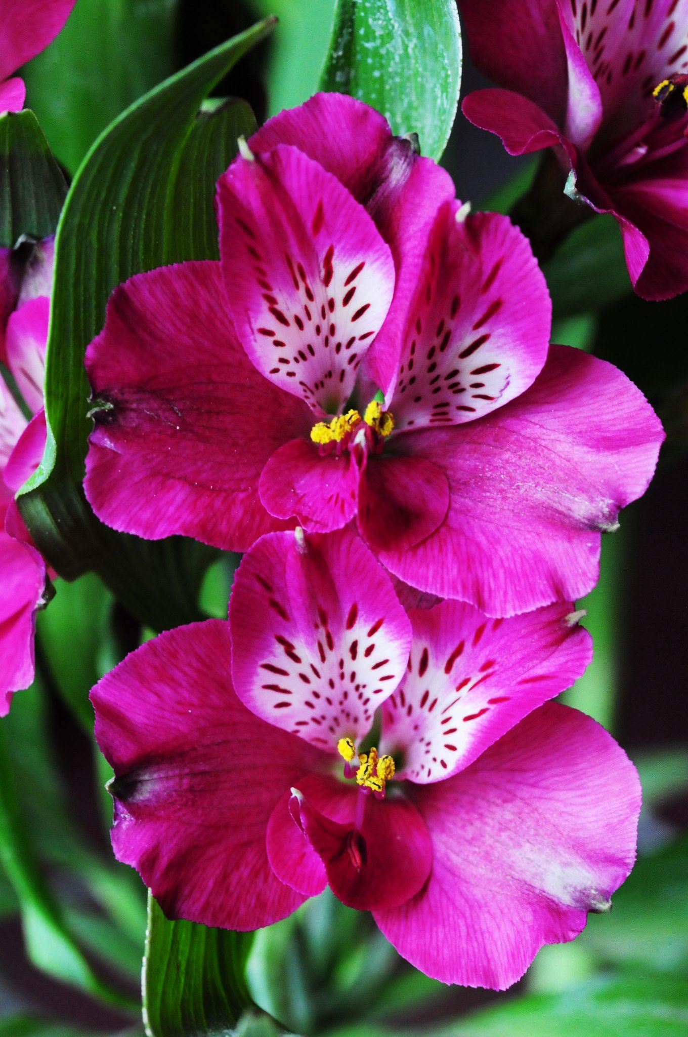 Alstroemeria Peruvian lily
