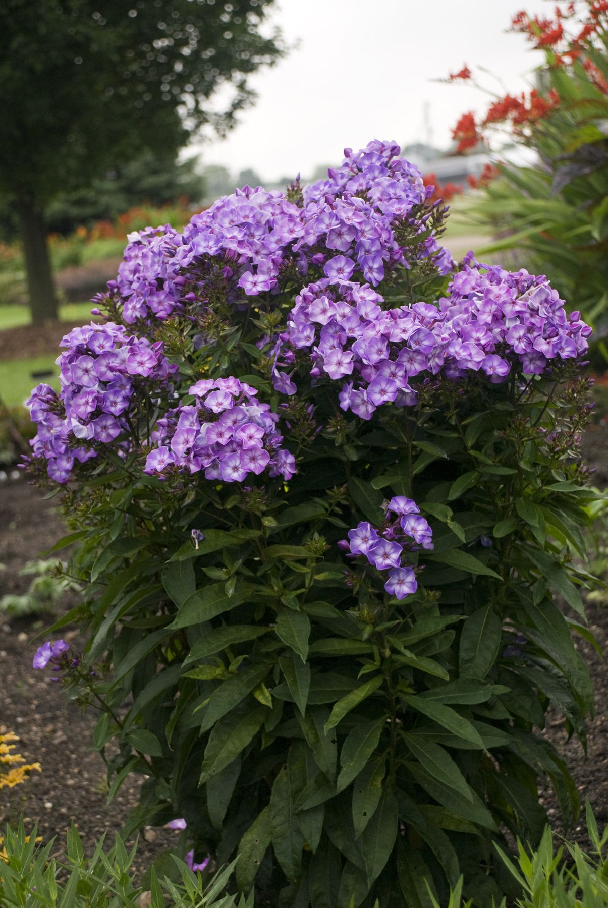 phlox pixie miracle grace Blooms all summer Zone 3