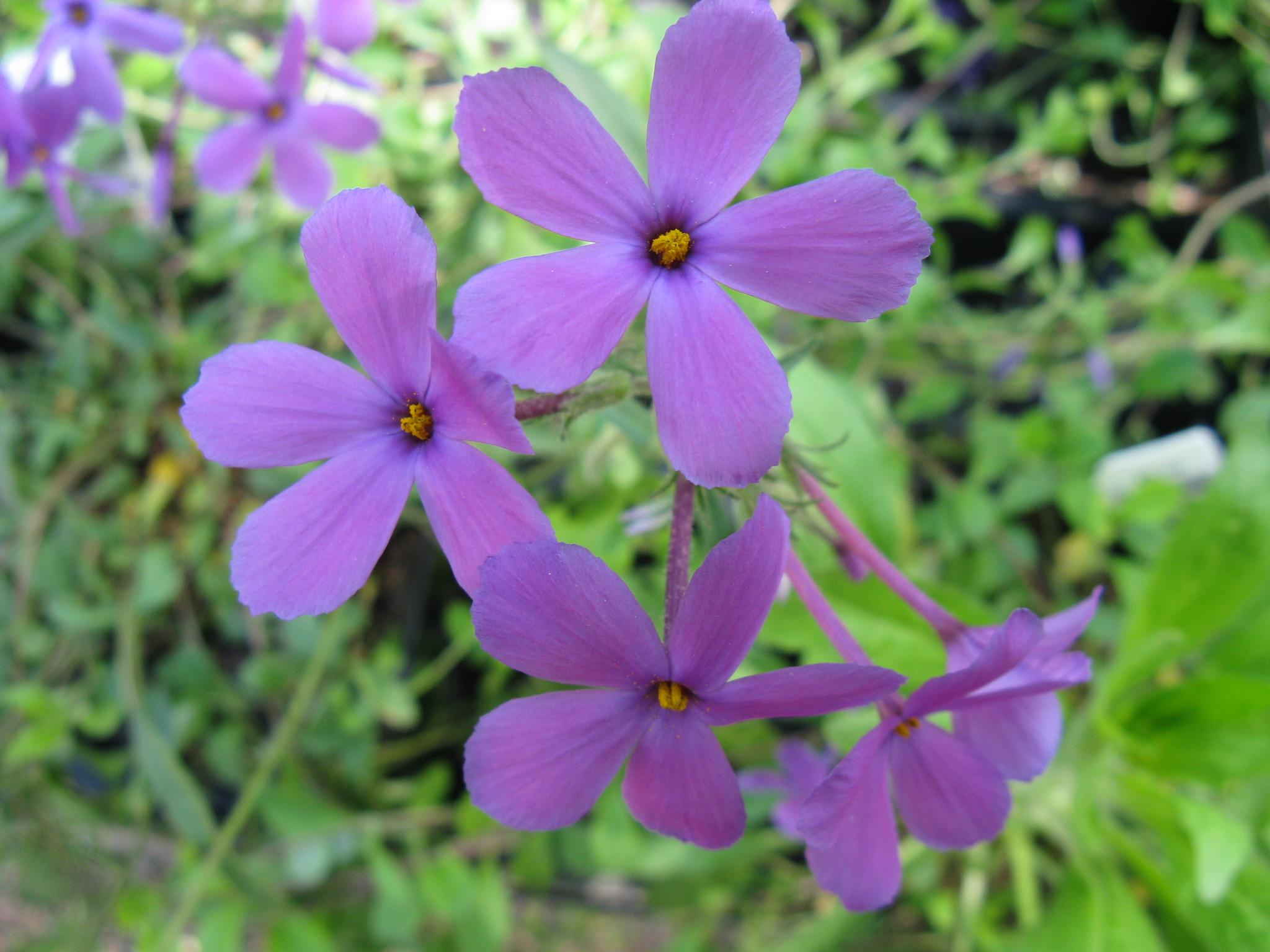 Phlox Bifida Flower Fresh Fafardspring Archives Fafard