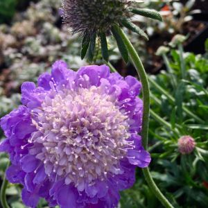 Pincushion Flower Flower New Pincushion Flower Perennial Blooms for Months Not Annual Variety