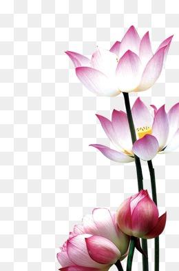 Pink Lotus Flower Beautiful Flower Arrangements And Flower Gardens