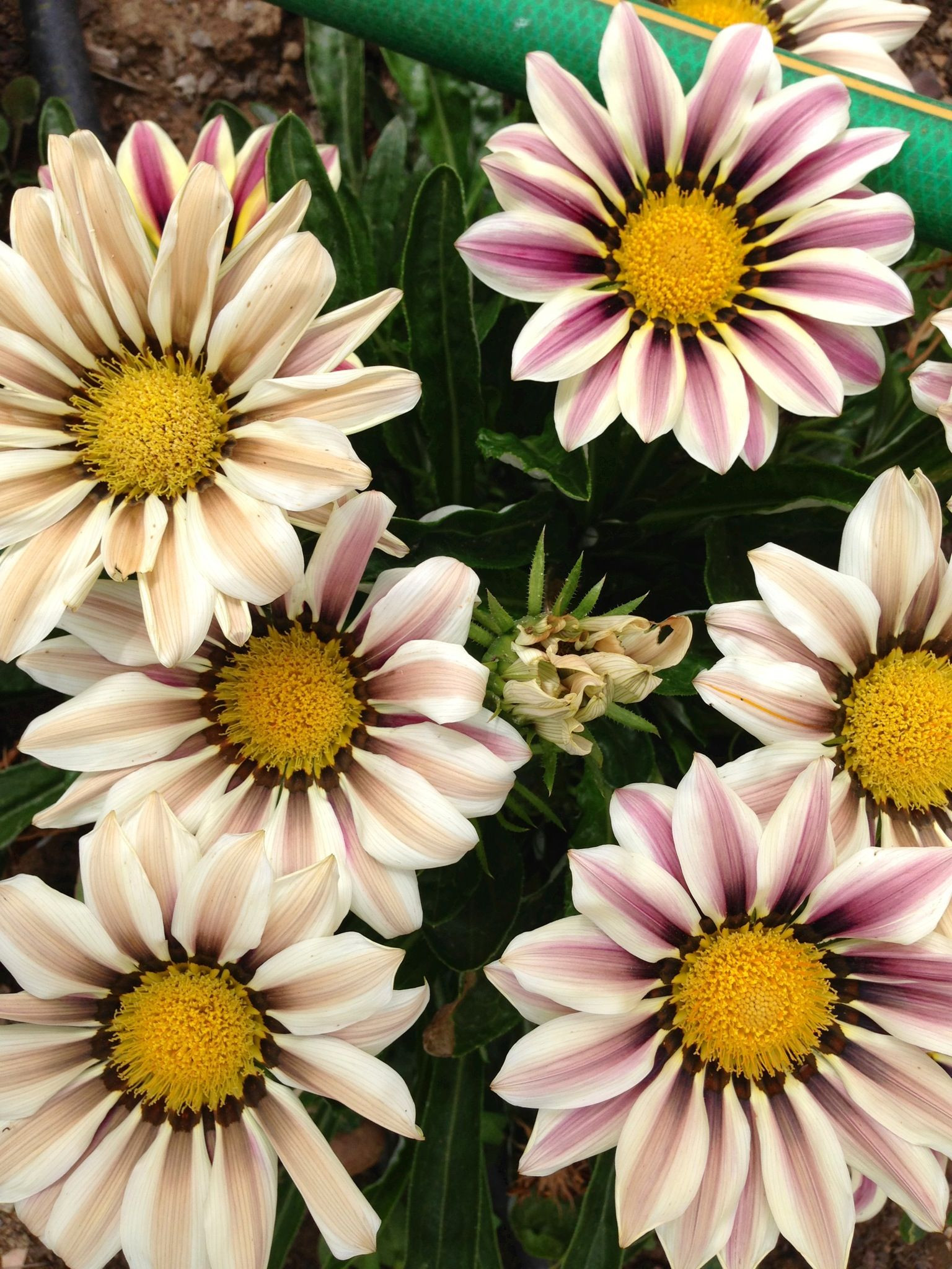 African Daisy Flowers from my garden