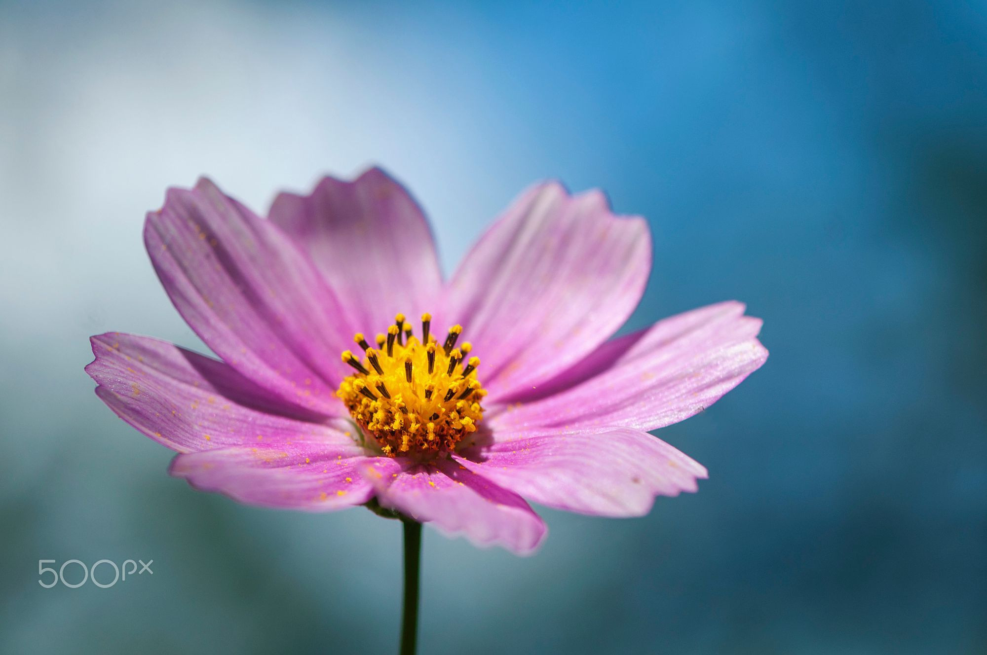 Close up on a pink daisy Blurred background