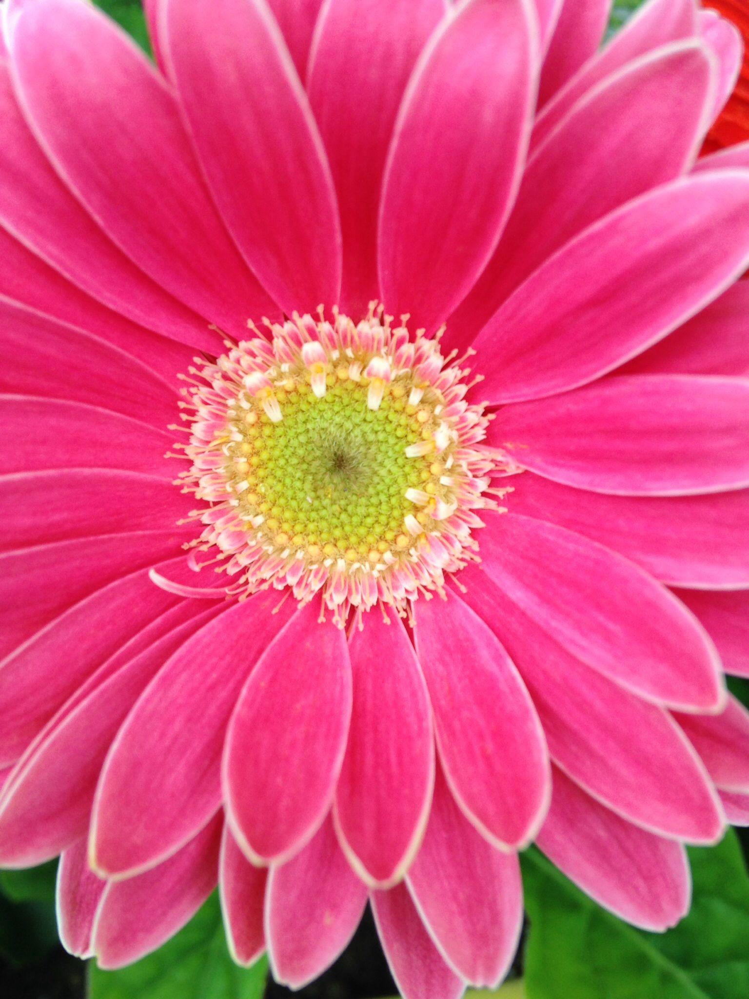 Berbers daisy