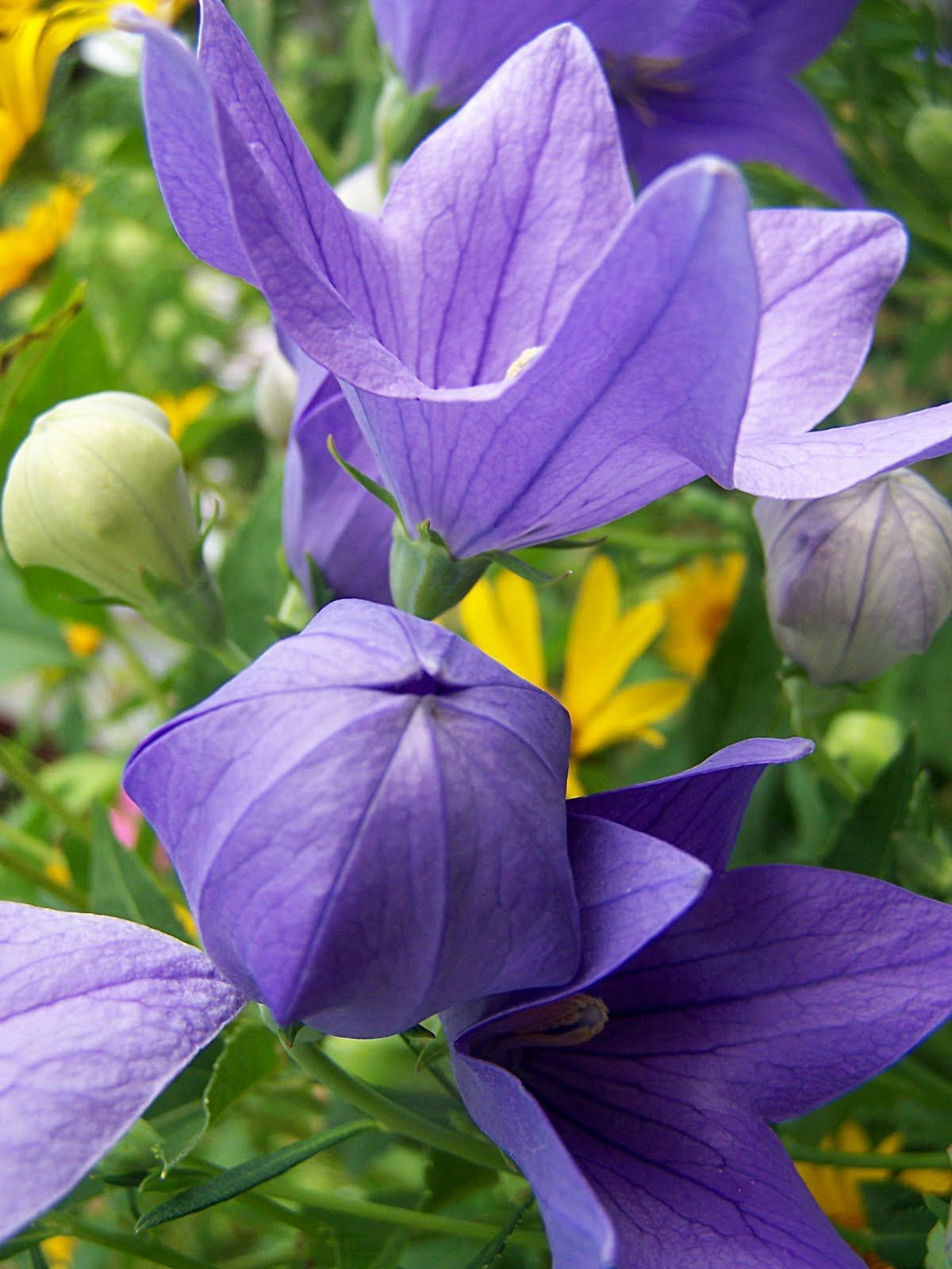 Balloon flowers These unique plants return every year to delight you with puffy buds before bursting into lovely flowers Be sure to dead head to keep