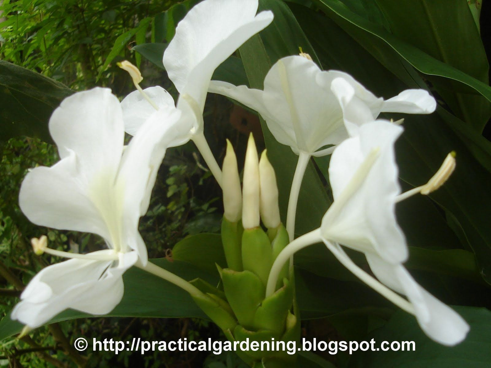 Camia or White Ginger Hedychium philippinense or Hedychium coronarium Practical Gardening