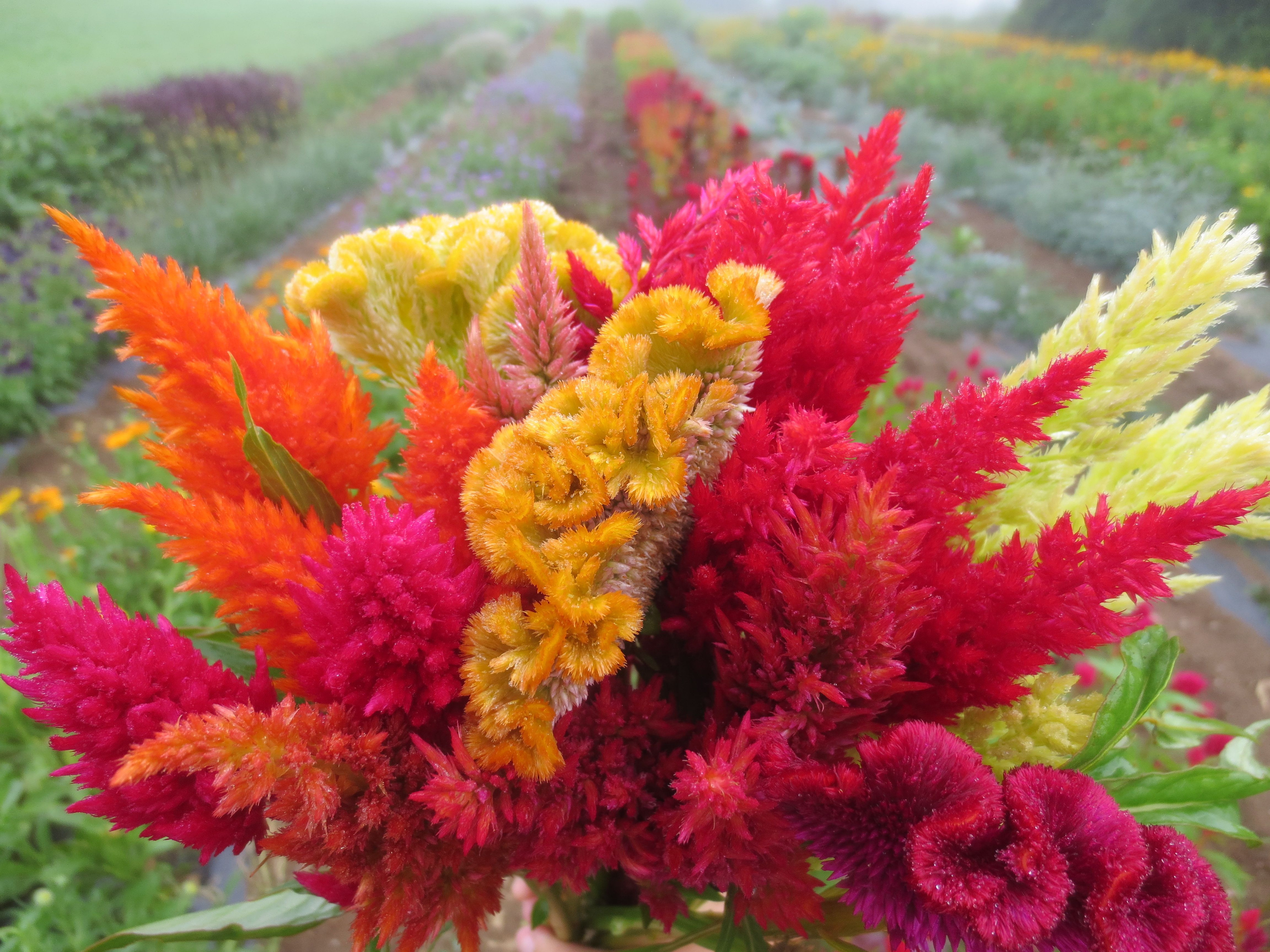 Plume Celosia in assorted colors July to early October Green bright pink