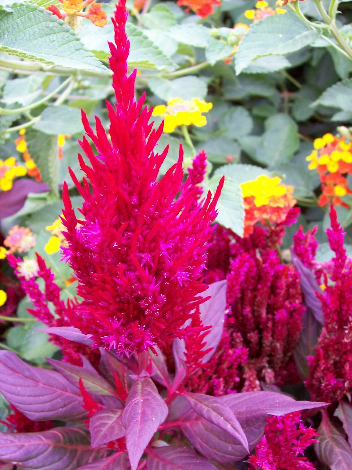 Celosia New Look All American Selection winner and a CHAMPION in our display beds Dark burgundy foliage with red plumes For the deepest color