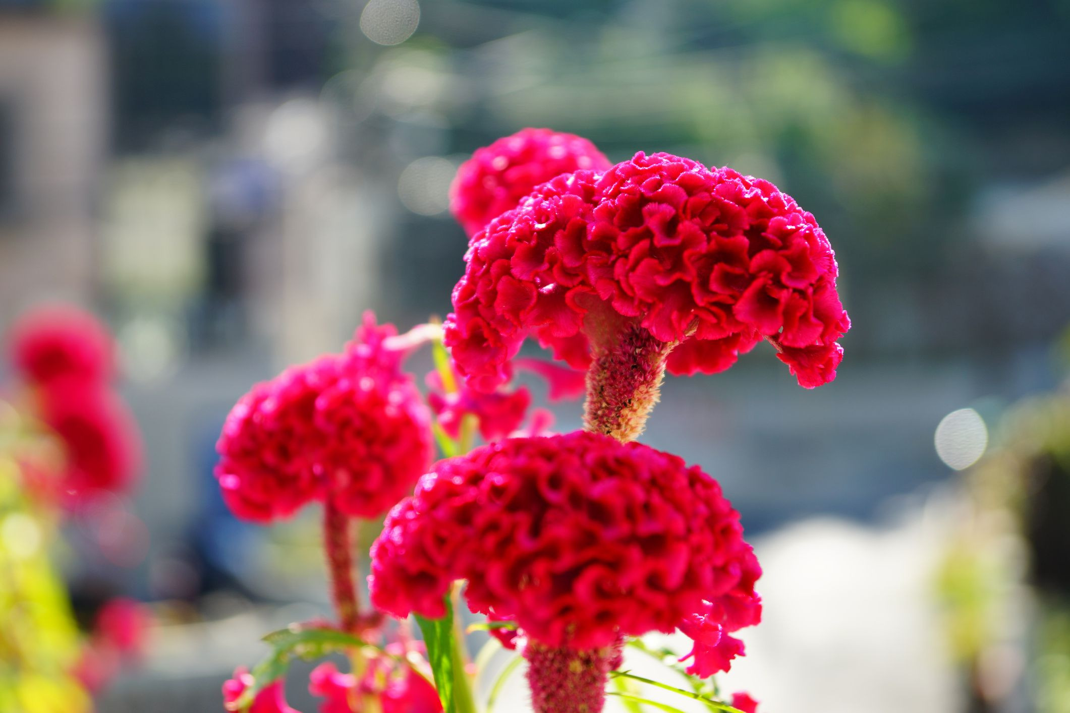 Plume Celosia Flower Luxury Celosia Flowers Fer Plumes Feathers and Blooms