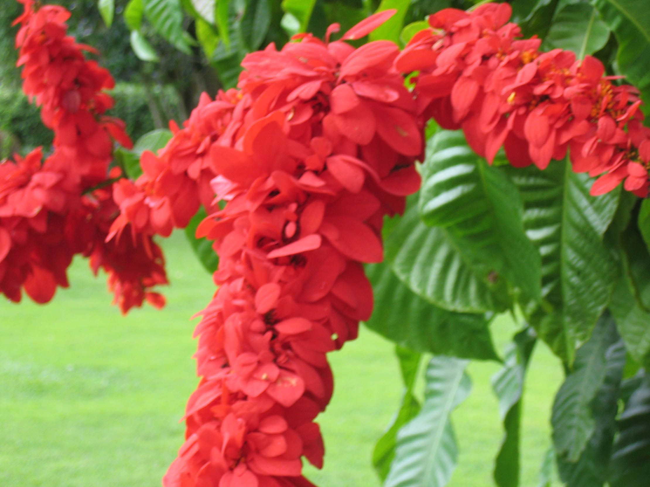 Trinidad National Bird and Flower Seeing Red