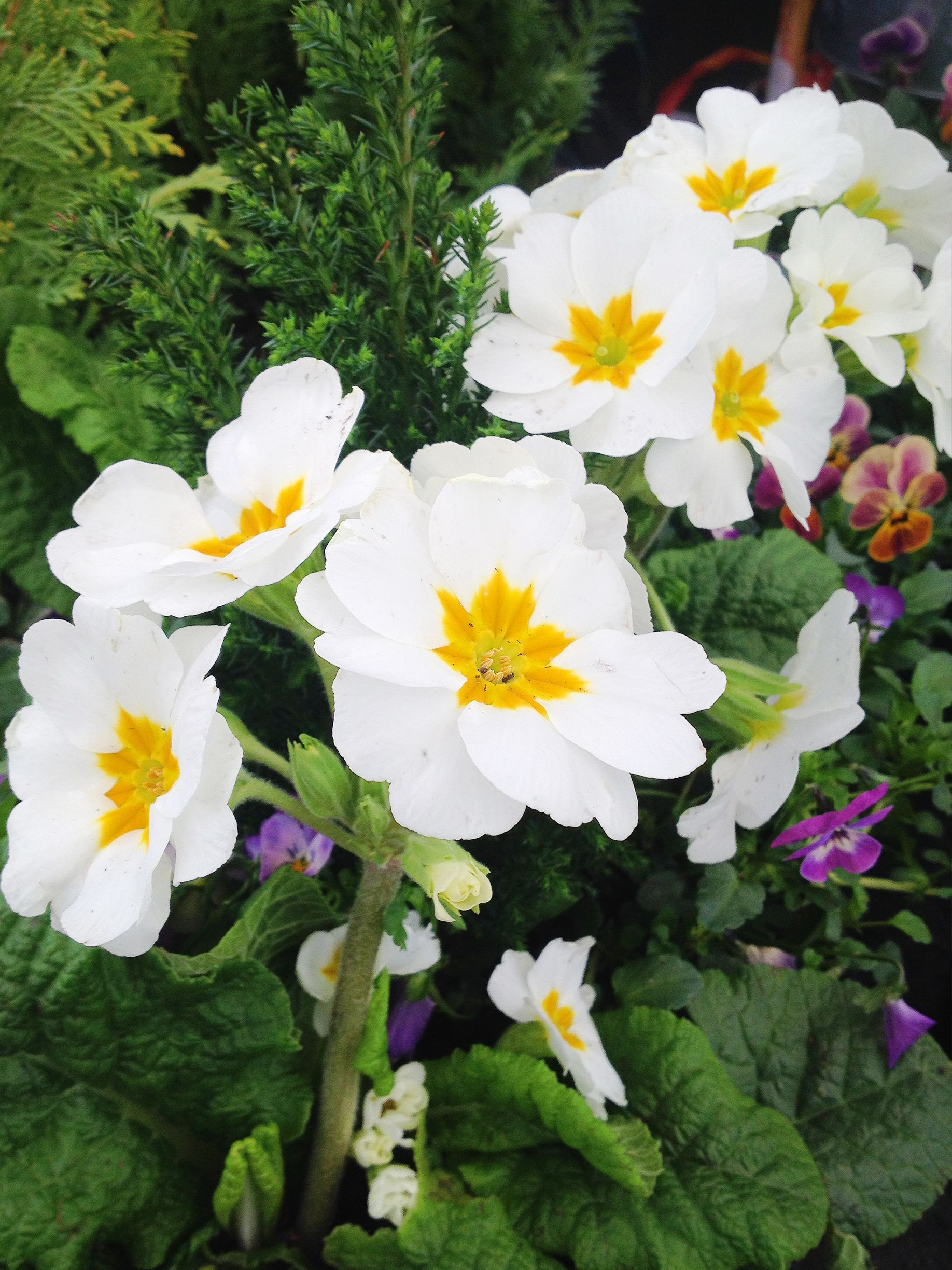 Image result for polyanthus nz ПримуРы