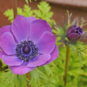 Poppy Anemone Flower Awesome Purple Flower Flowers Pinterest