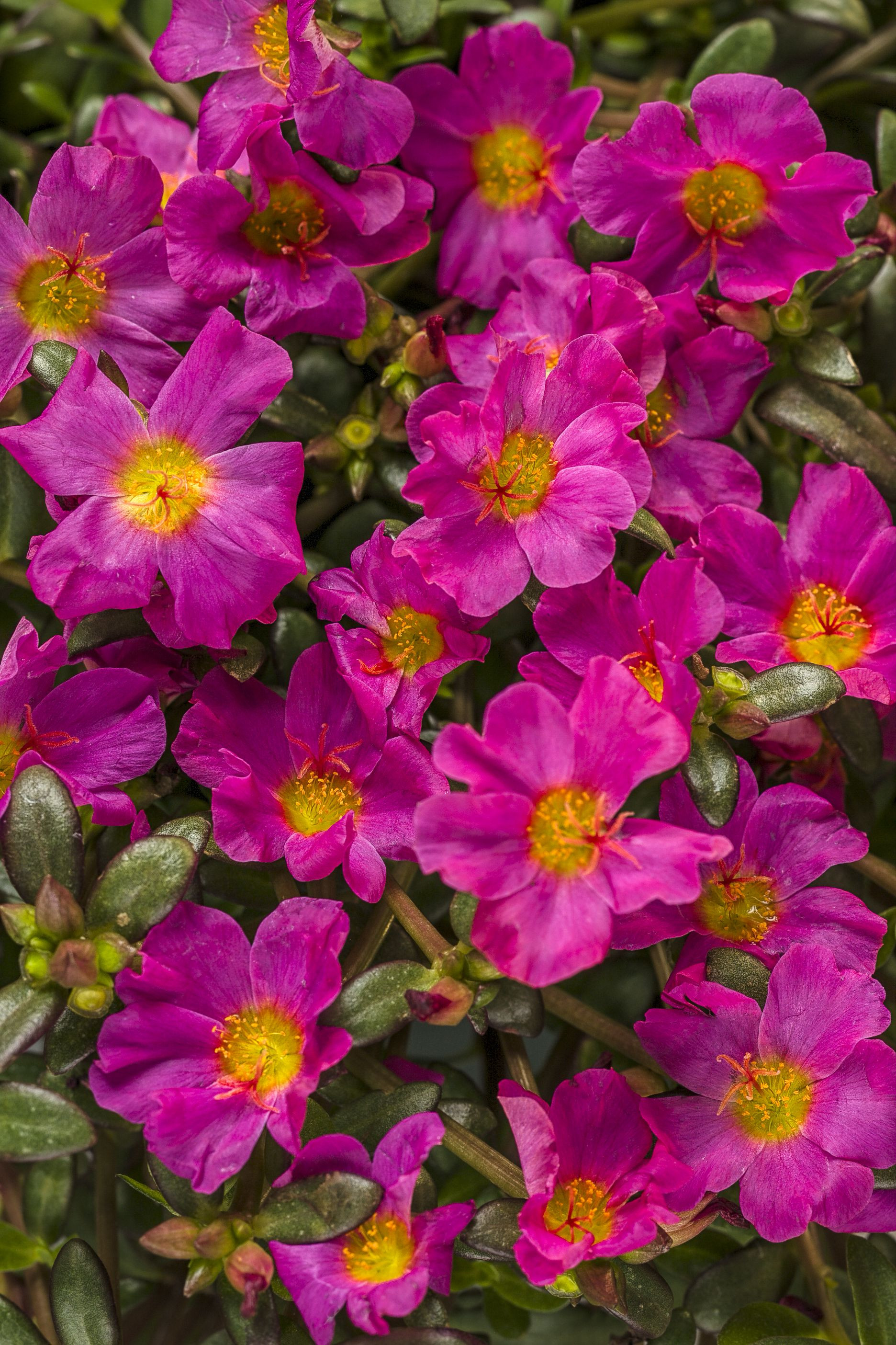 Mojave Fuchsia Moss Rose Portulaca grandiflora 2016 the color is so vibrant use some in barrels