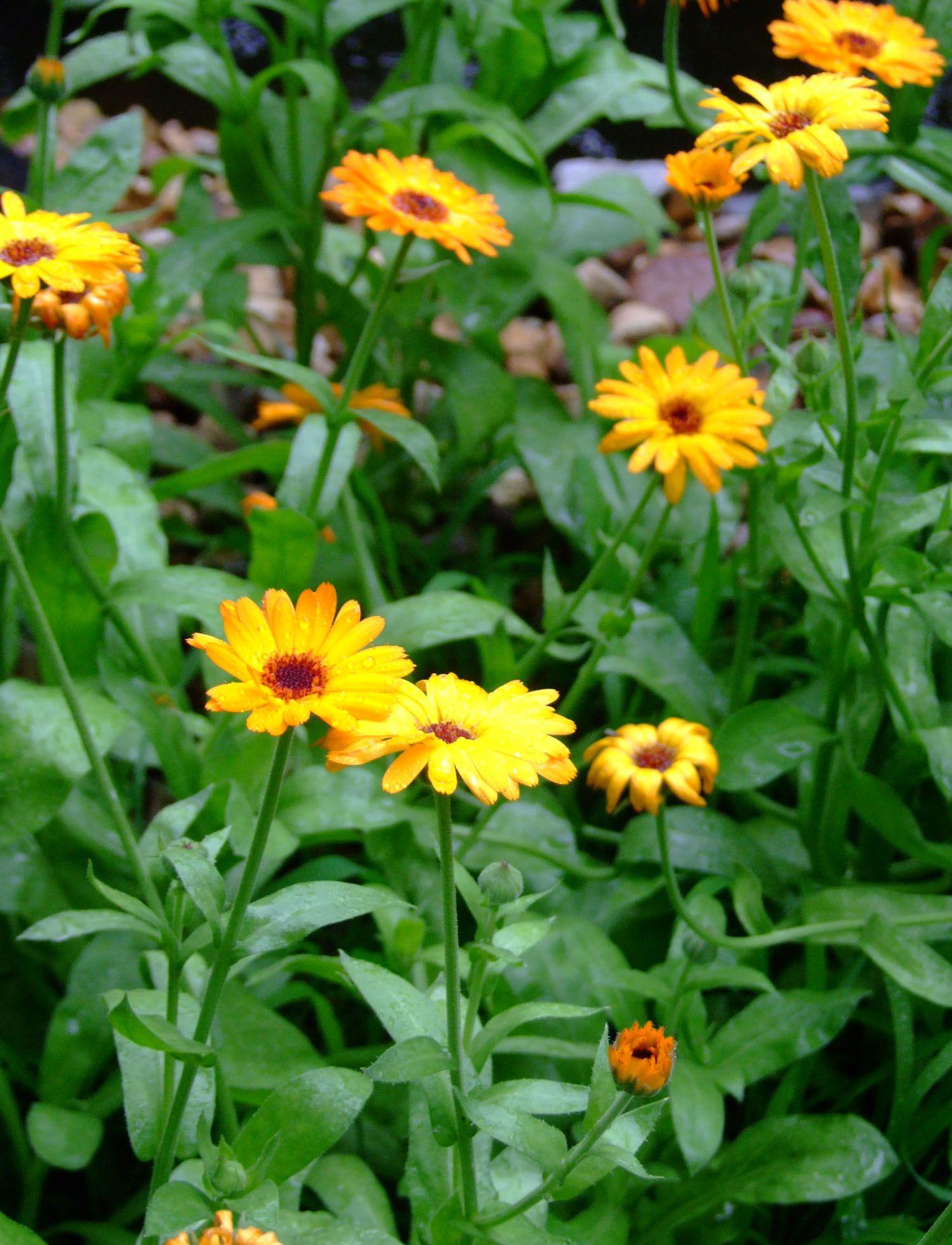Calendula officinalis Calendula or Pot Marigold