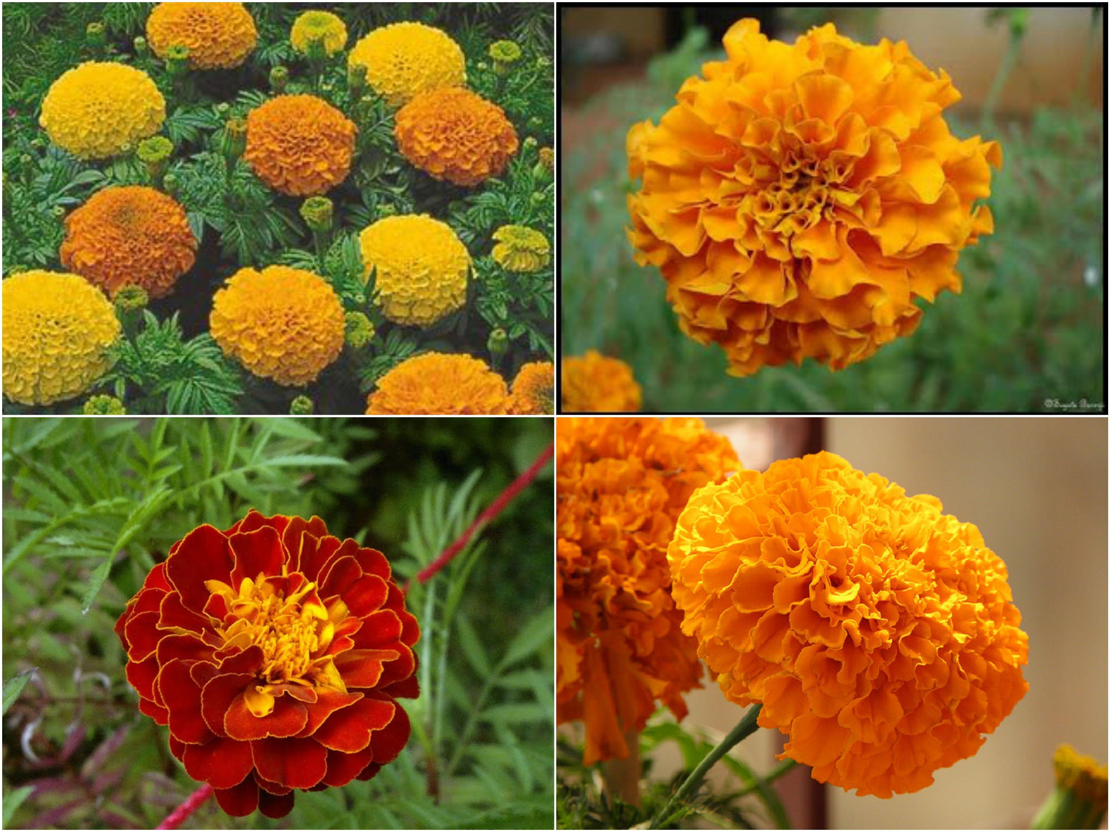 Genda Flower Marigold