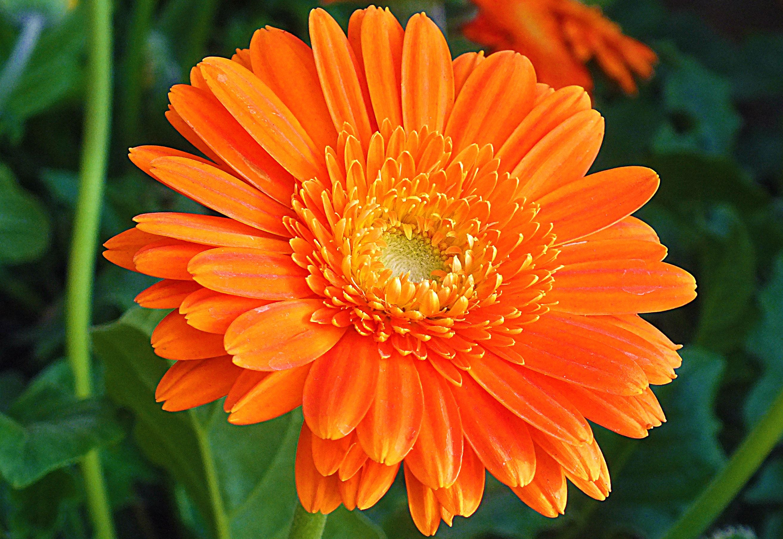 pot marigold Orange Calendula by TreeBuilderDeviantviantart on deviantART