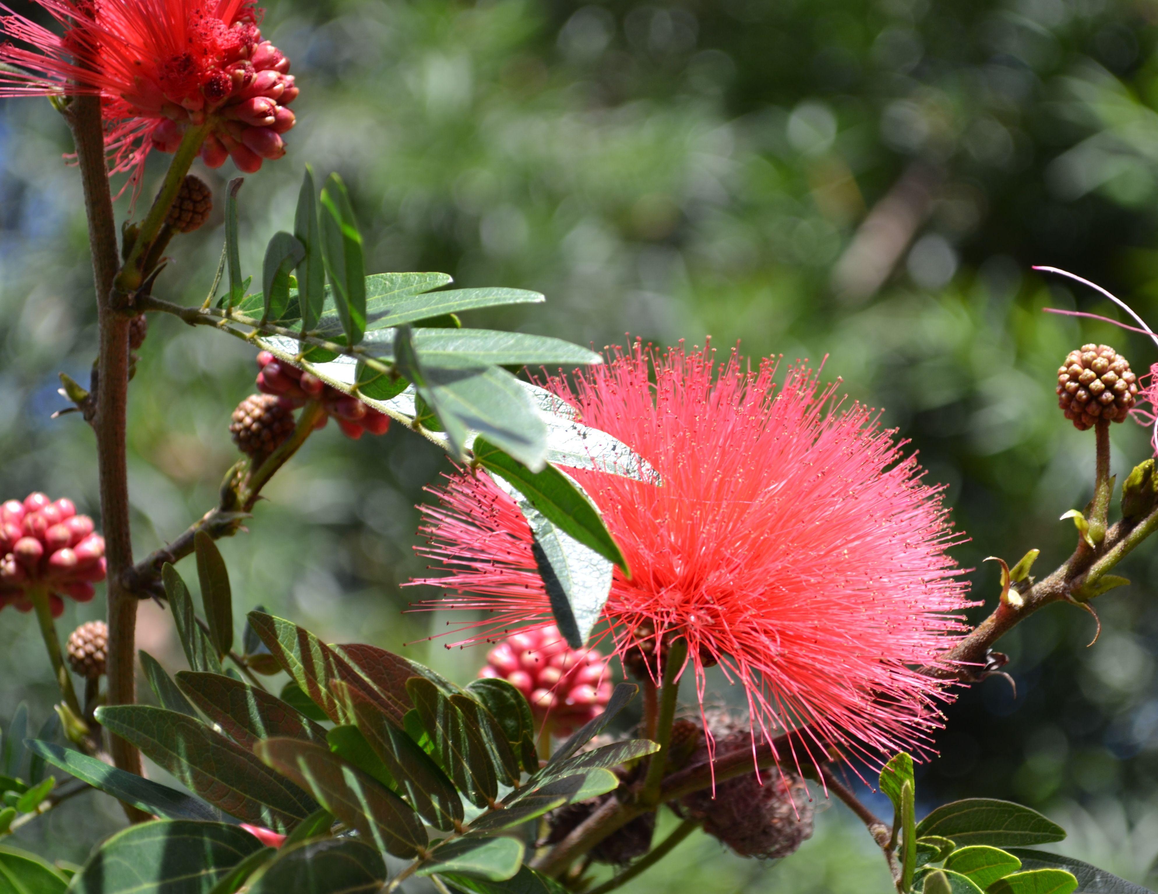 Powder Puff bush Calliandra haematocephala February blooms