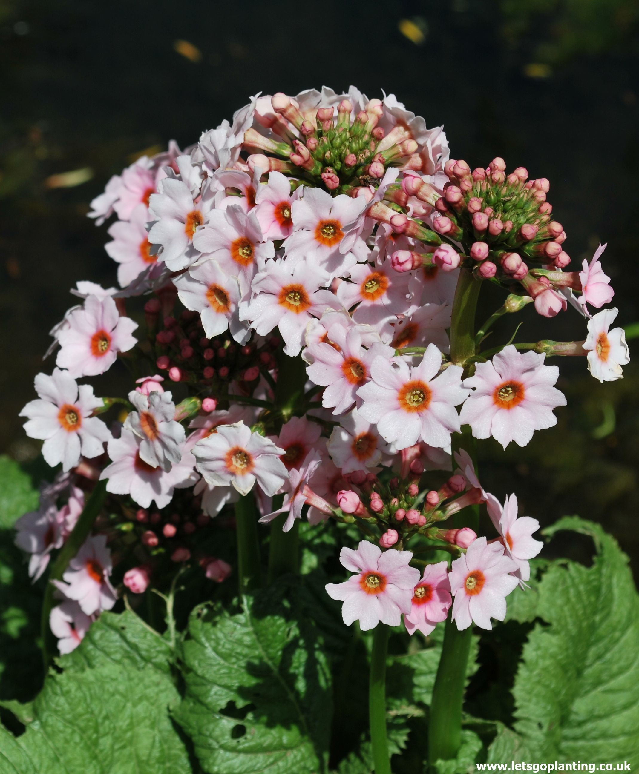 Primula Apple Blossom also known as Japanese Primrose with large pale pink flushing to