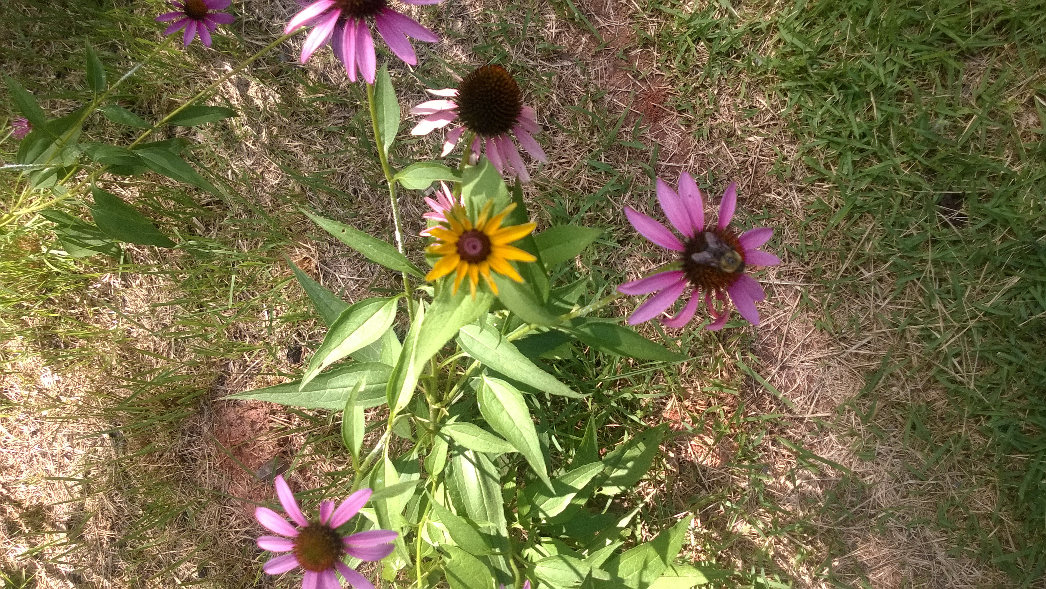purple coneflowers thrive in dry conditions