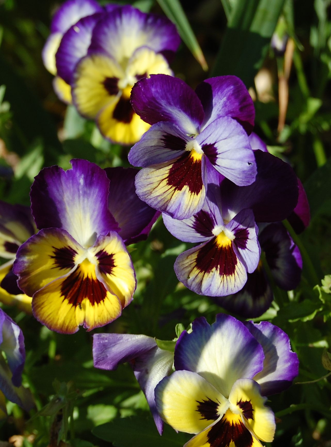 "The Pansy is called the ""Trinity Flower"" because its three petaled shape like the Irish shamrock represents the the Trinity first revealed to Mary"