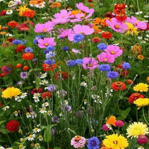 Queen Of the Meadow Flower Fresh Mixed Flower Seed Thrown Onto Tilled Ground I Did It and they are