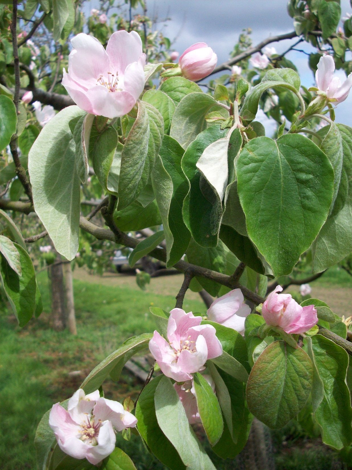 Quinces in blossom Grown in Somerset our Quince Cheese is the perfect addition to your cheeseboard Tracklements Quince Flower Cheese